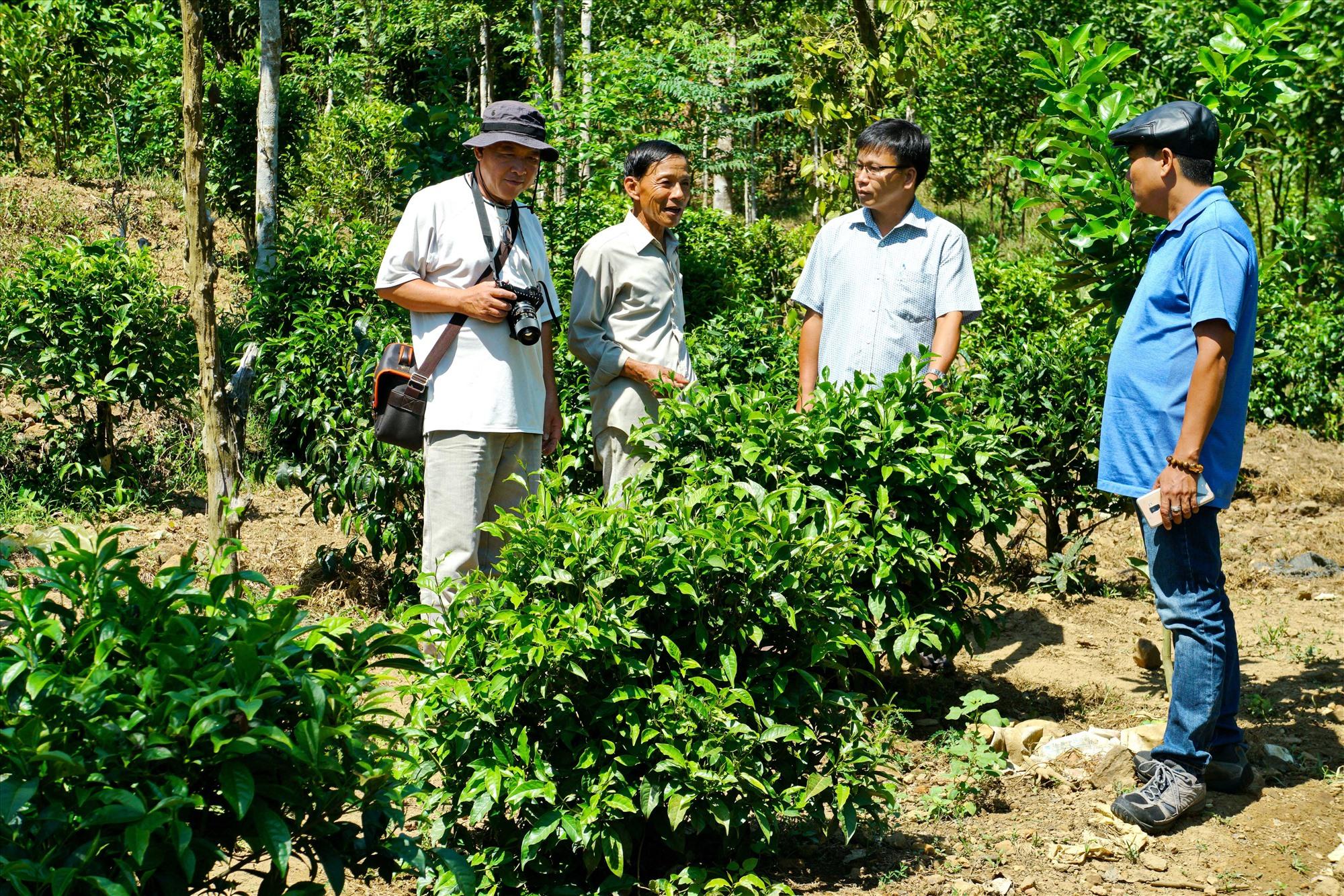 Ông Nguyễn Văn Hùng (người đứng thứ 2 từ trái sang) giới thiệu với khách tham quan về cây chè bản địa. Ảnh: NGUYỄN ĐIỆN NGỌC