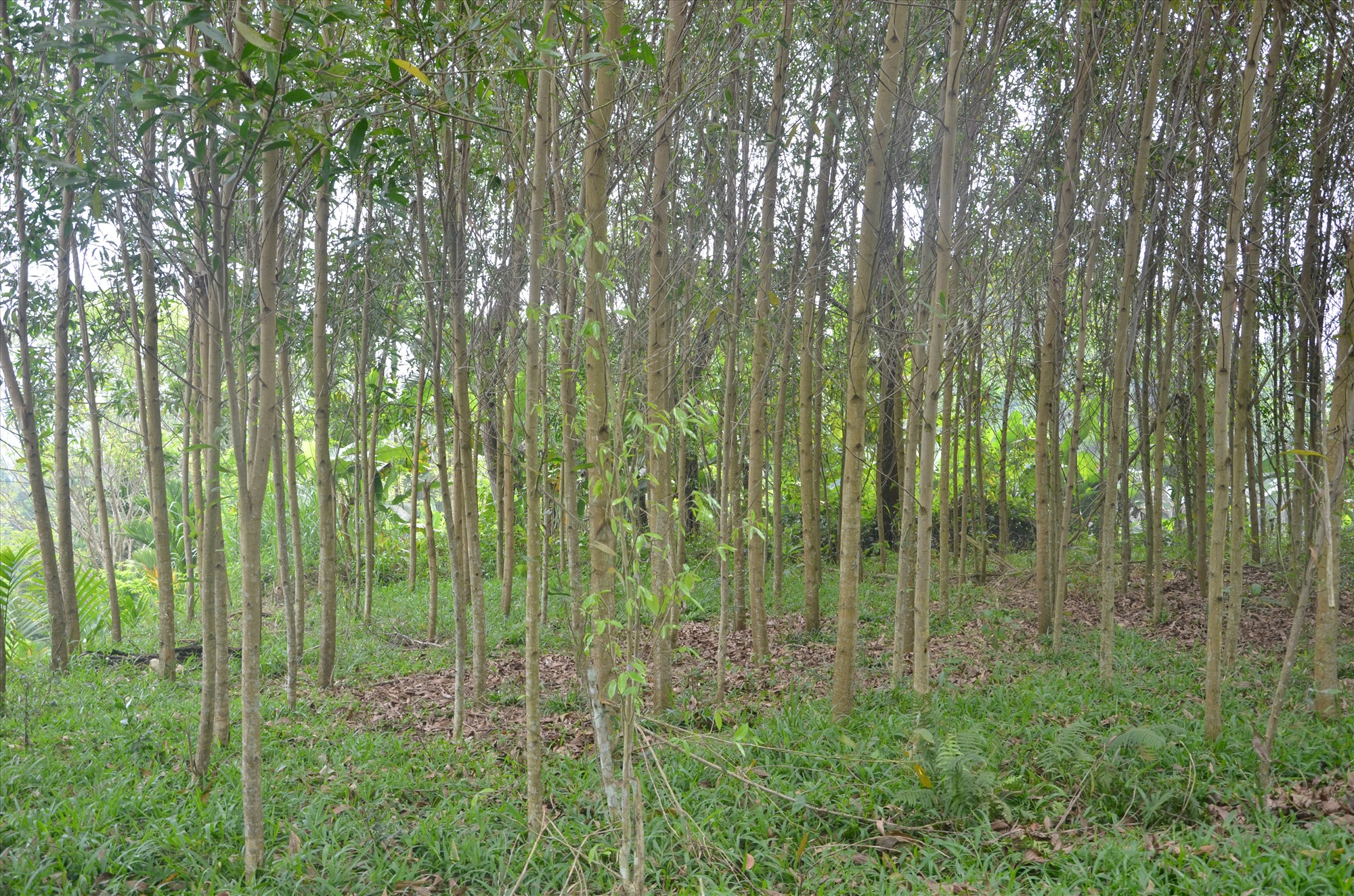 Cần ứng dụng KHCN sản xuất cây giống để tăng năng suất rừng trồng trên đơn vị diện tích.