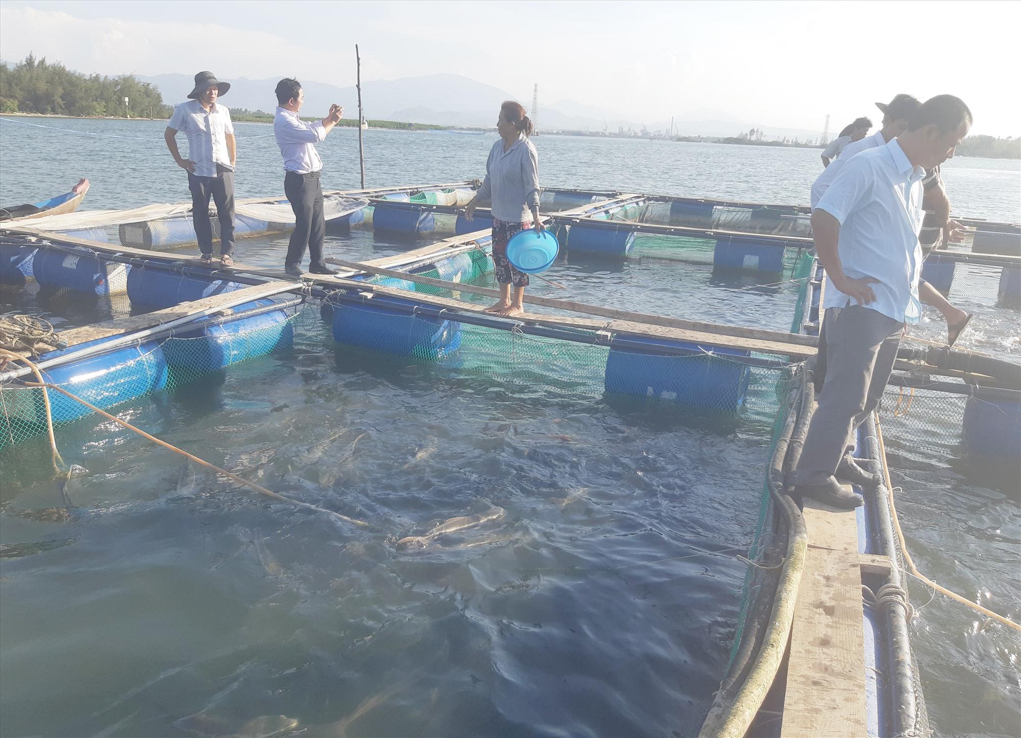 Mô hình nuôi cá bớp thương phẩm trong lồng bè tại Tam Hải bước đầu khá thành công. Ảnh: HOÀNG LIÊN
