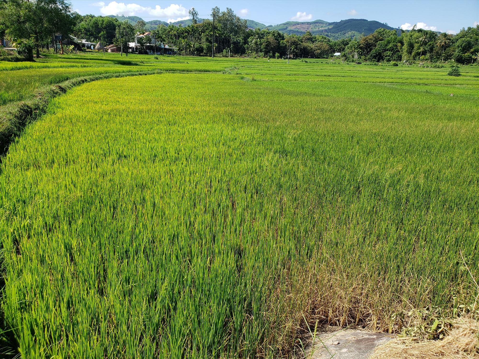Cánh đồng Ruộng Họ (thôn Ngọc Tú) lúa chuyển sang màu vàng vì thiếu nước tưới. Ảnh: THANH THẮNG