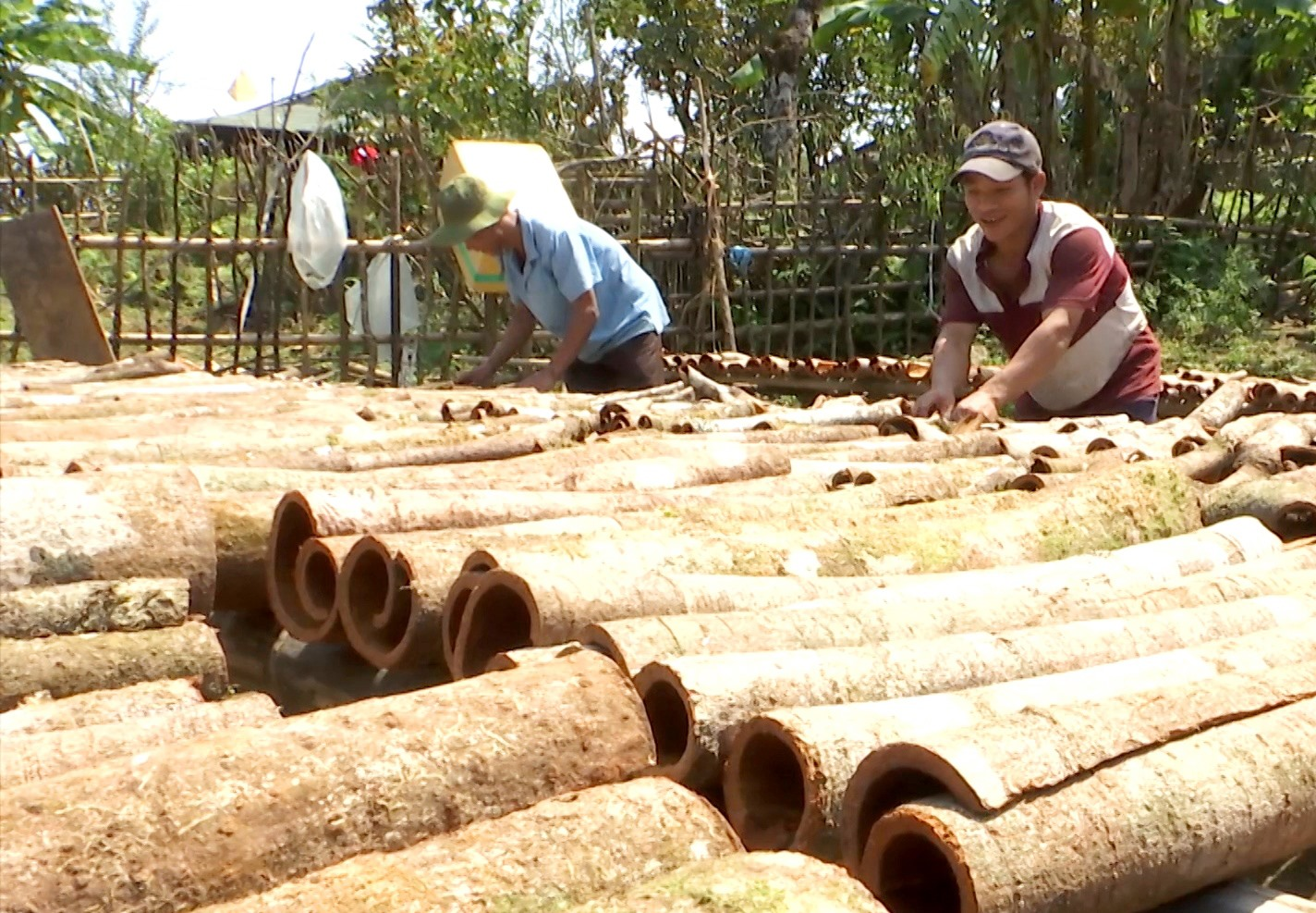 Từ việc mở rộng phát triển các cơ sở sản xuất nông nghiệp, huyện Nam Trà My đã tạo cơ hội việc làm cho lao động tại chỗ. Ảnh: Đ.N