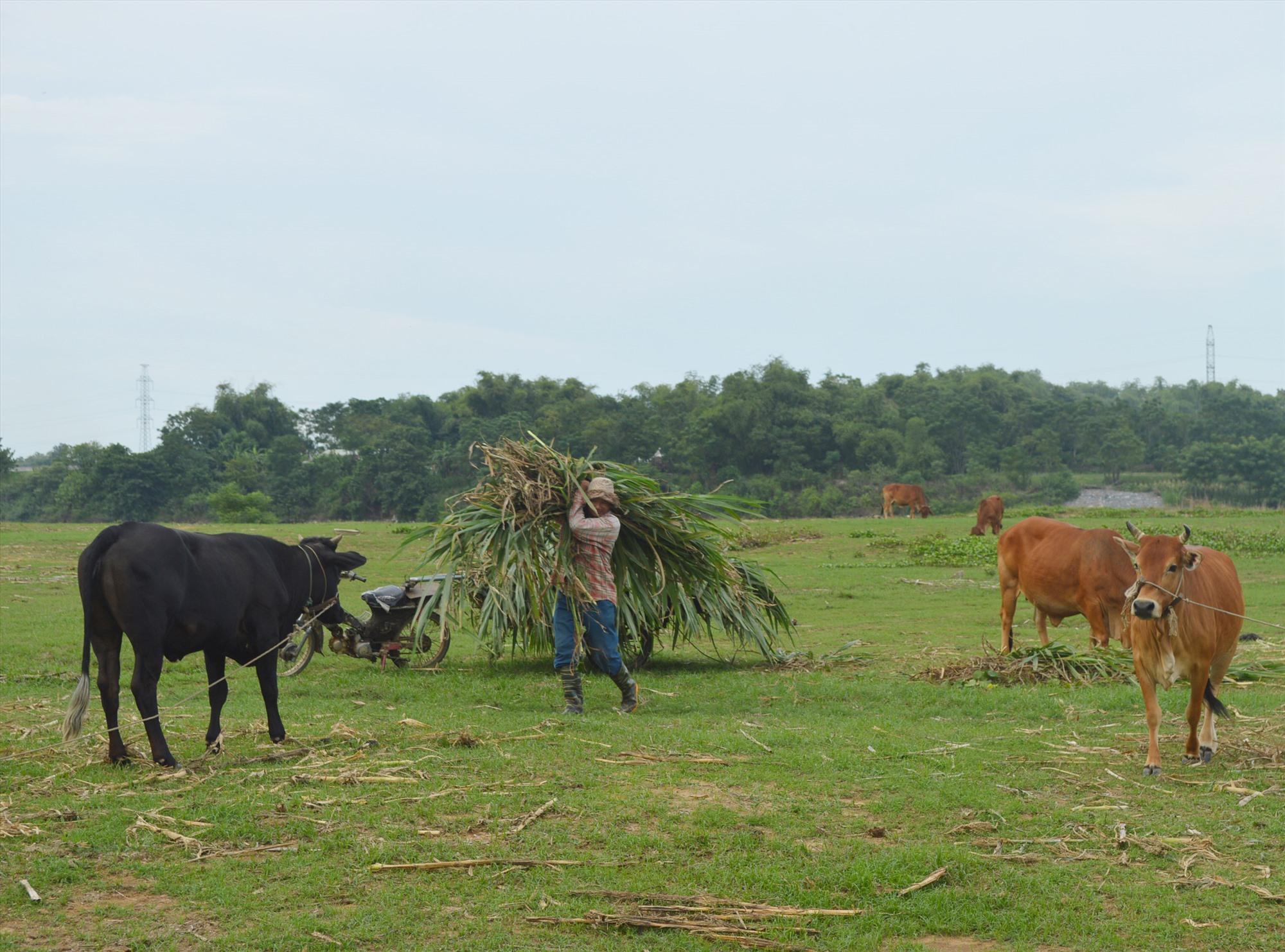 Mô hình trồng bắp nuôi bò vừa giúp nâng cao giá trị cây bắp vừa mang lại hiệu quả kinh tế cao. Ảnh: K.L