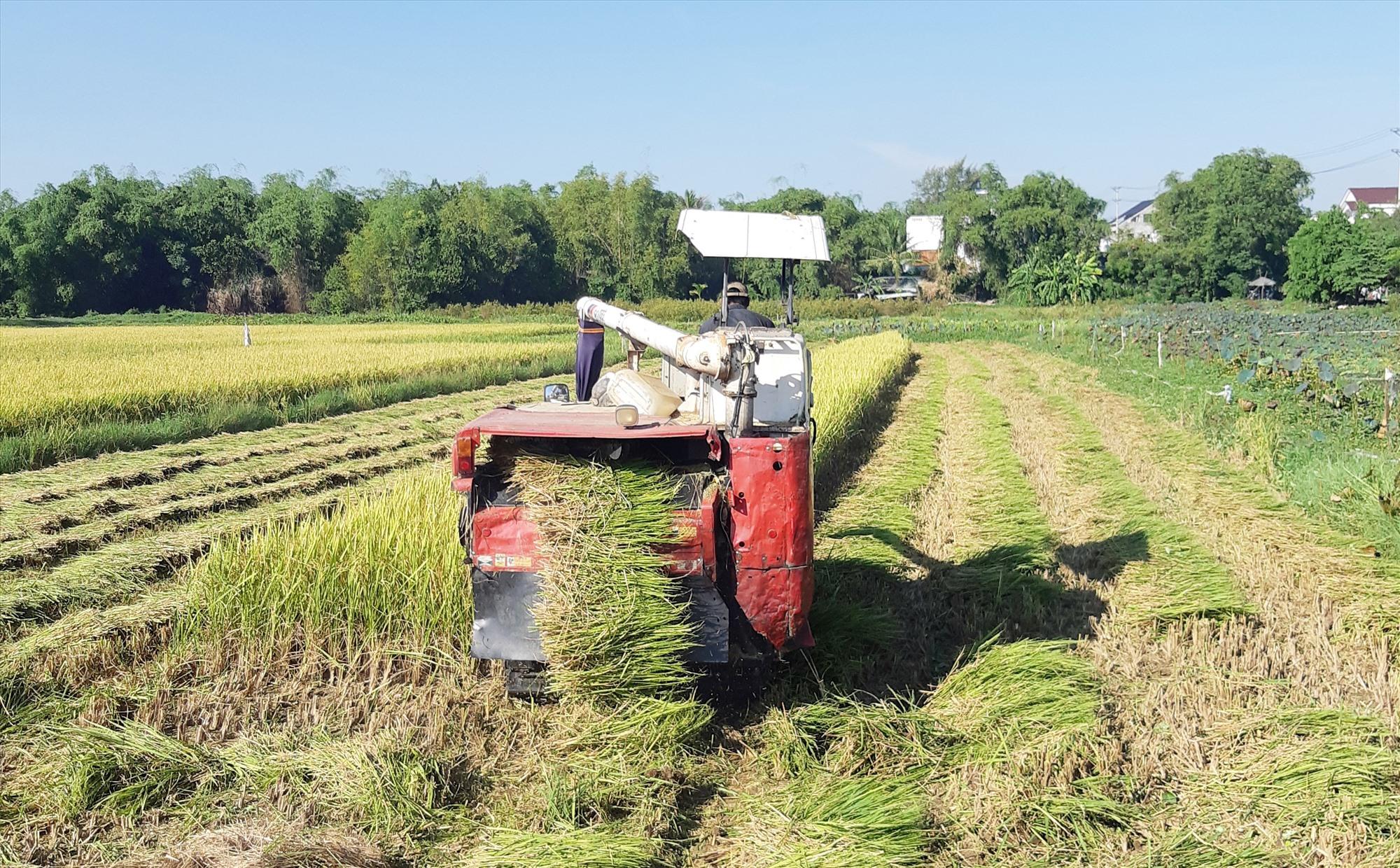Nông dân Hội An gấp rút thu hoạch lúa hè thu. Ảnh: MỸ LỆ