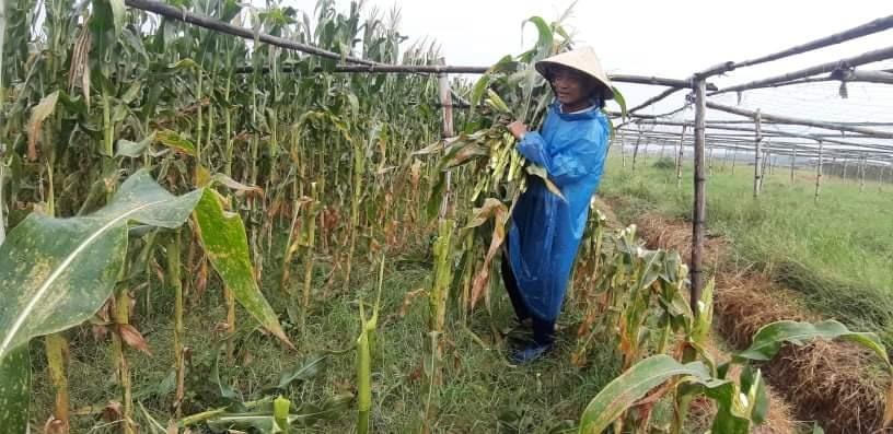 Sáng nay 17.9, nông dân xã Duy Phước (Duy Xuyên) khẩn trương thu hoạch những ruộng bắp.  Ảnh: T.S