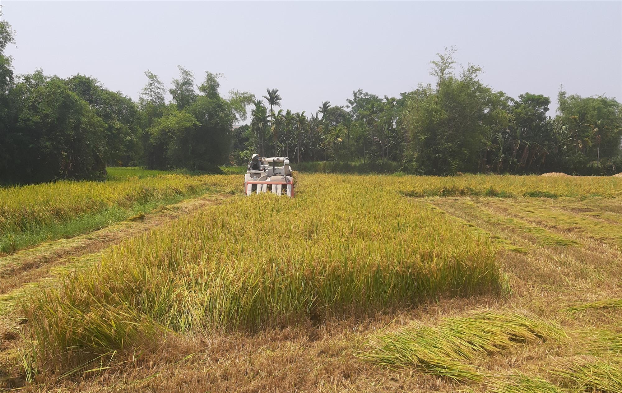 Nông dân các địa phương thuộc khu vực đồng bằng khẩn trương thu hoạch những ruộng lúa đã chín ở vùng trũng thấp nhằm hạn chế thiệt hại do mưa bão gây ra.  Ảnh: T.S