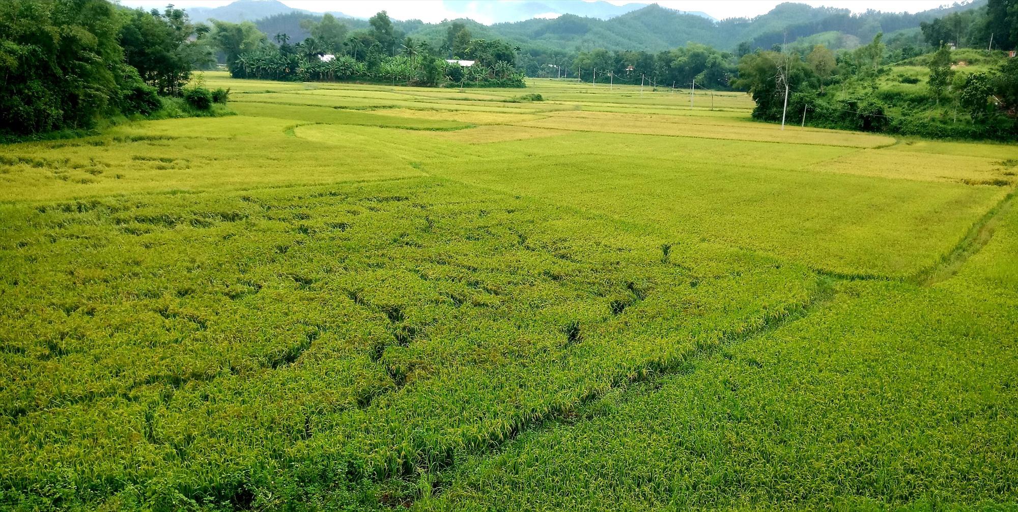 Nhiều diện tích lúa ở xã Quế Trung (Nông Sơn) còn xanh nên chưa thể thu hoạch. Ảnh: V.L