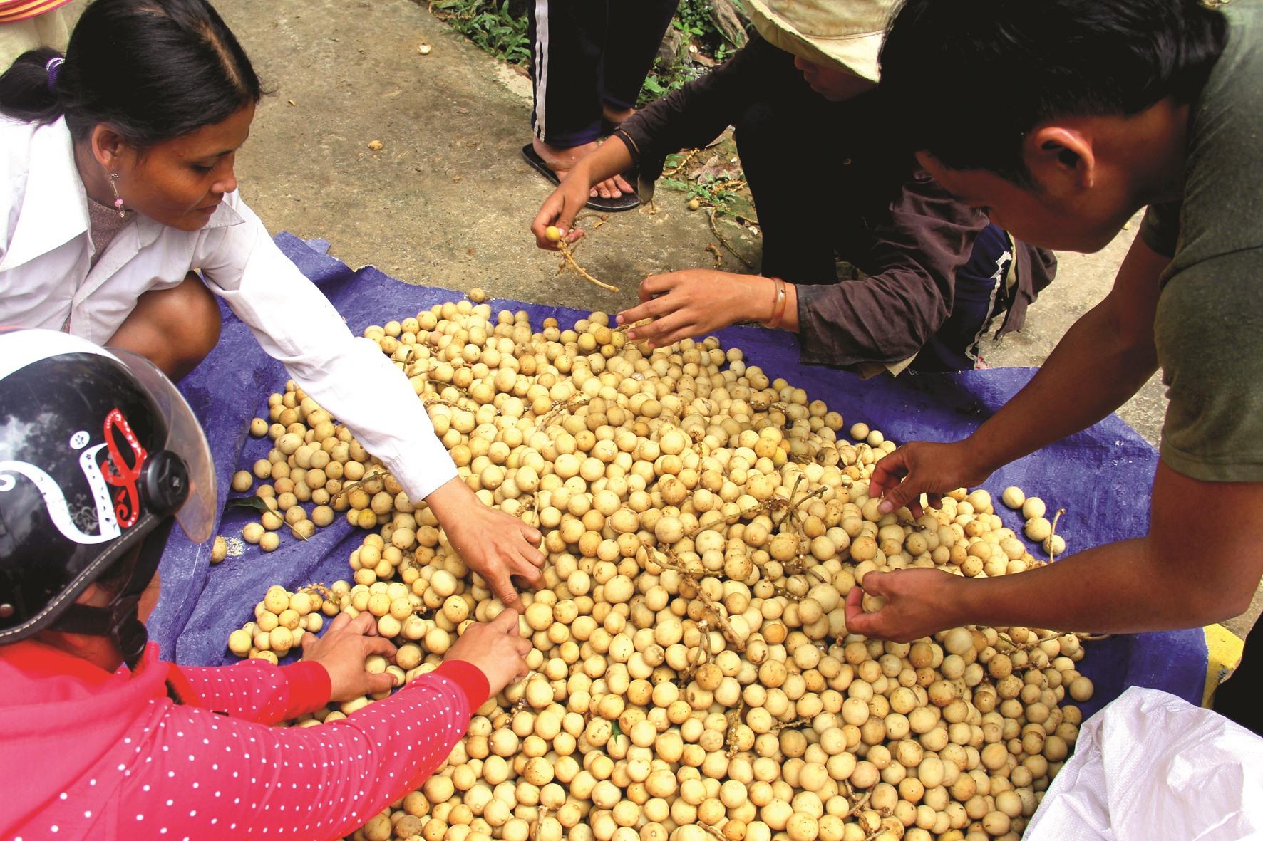 Lòn bon sau khi mang về, để giữ được lâu, người ta thường lựa bỏ những trái hư thối, nứt nẻ.