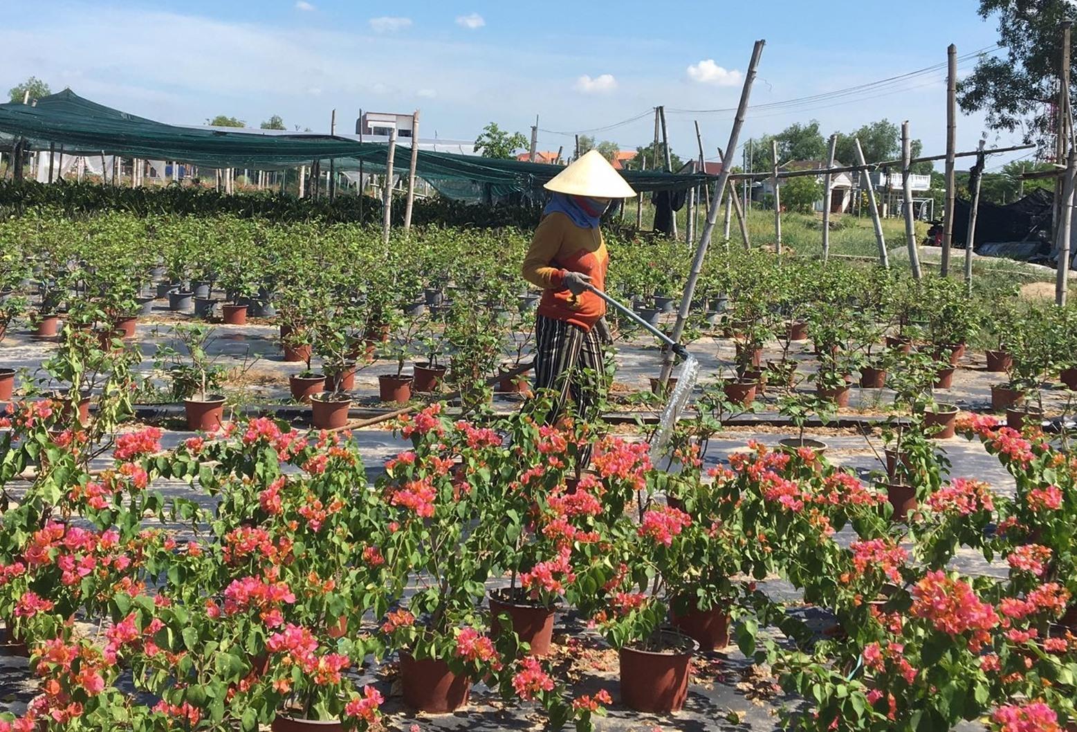 Vườn hoa kiểng Na Sơn vẫn duy trì tưới nước, bón phân cho hoa giấy đã quá ngày xuất bán. Ảnh: Ly Trang