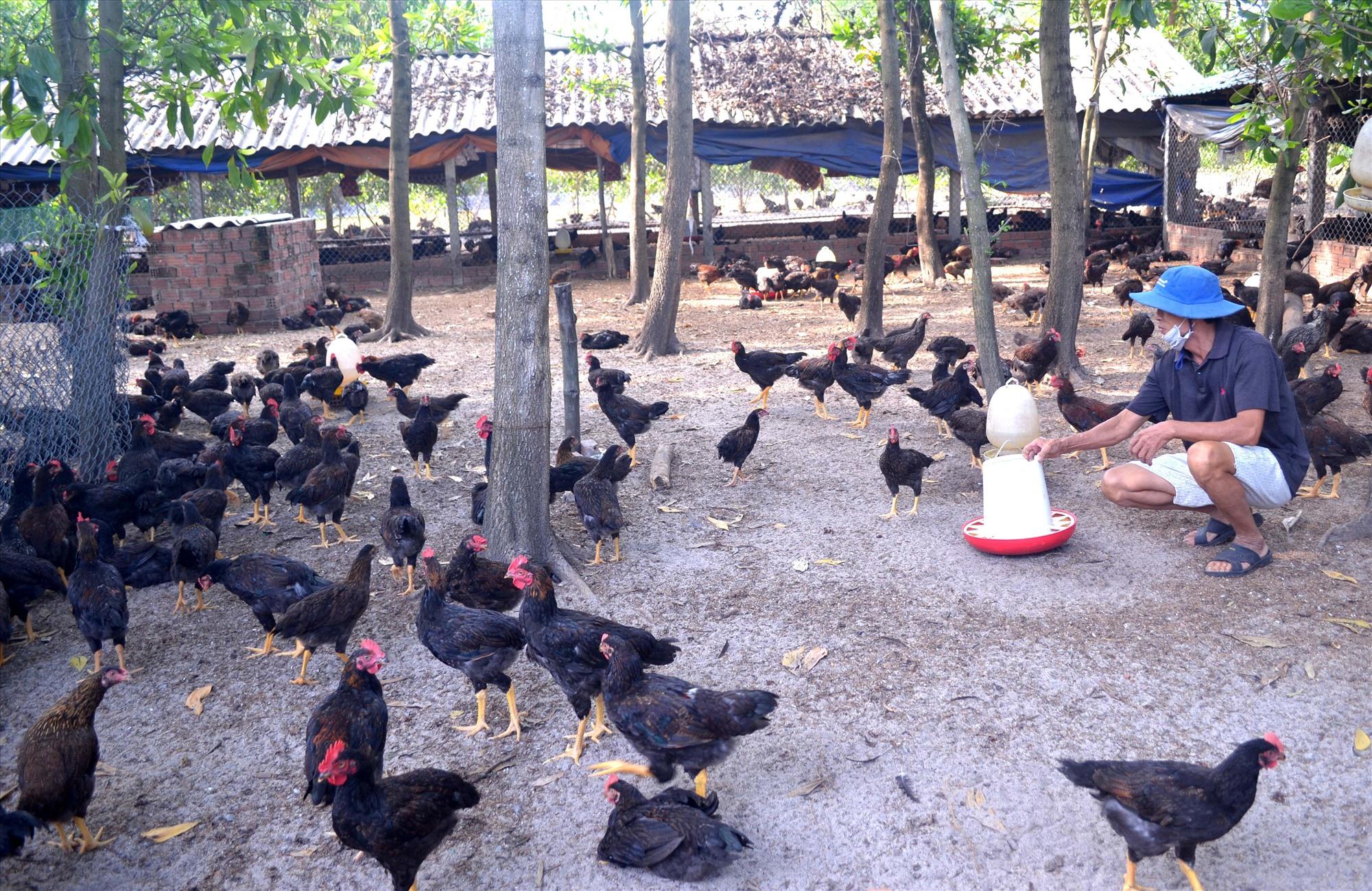 Ông Nguyễn Minh Đồng khó tiêu thụ 6 nghìn con gà thả vườn thương phẩm. Ảnh: V.N