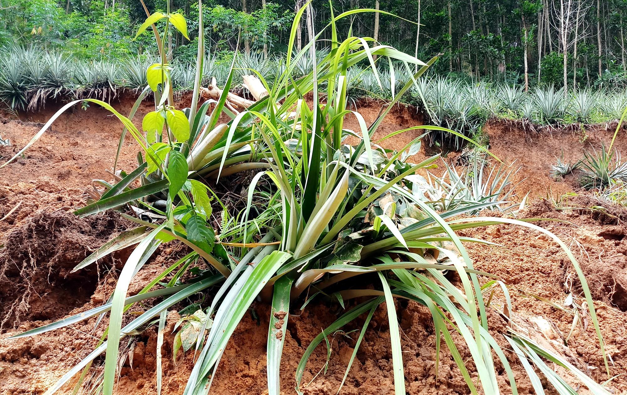 Nhiều diện tích hoa màu, ruộng lúa người dân bị vùi lấp do sạt lở đất. Ảnh: A.N