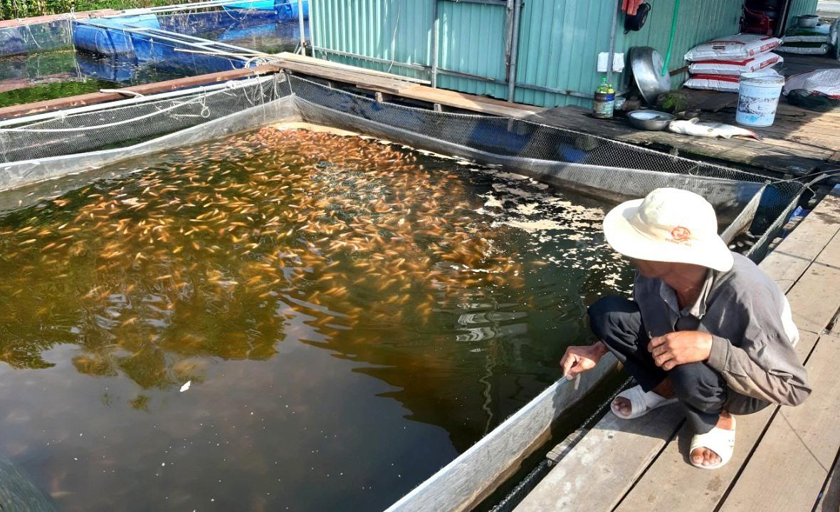Cá điêu hồng 1 tháng tuổi đang nuôi vào thời điểm này của ông Nguyễn Văn Ngọc. Ảnh: VIỆT NGUYỄN
