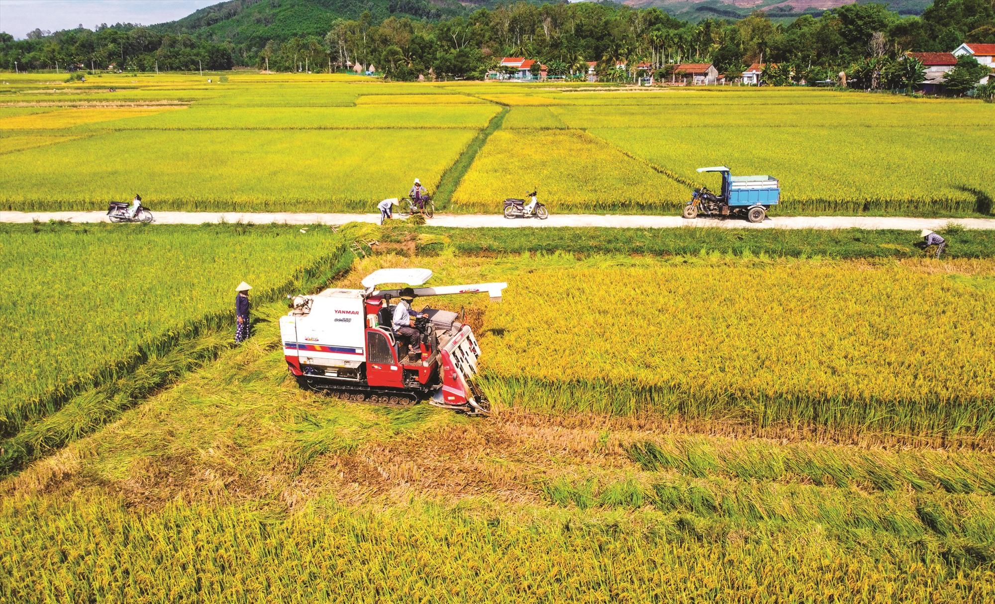 Ngoài việc tăng năng suất, ngành nông nghiệp Quảng Nam cần tính toán việc nâng cao chất lượng sản phẩm. TRONG ẢNH: Nông dân Phú Ninh thu hoạch lúa. Ảnh: PHƯƠNG THẢO