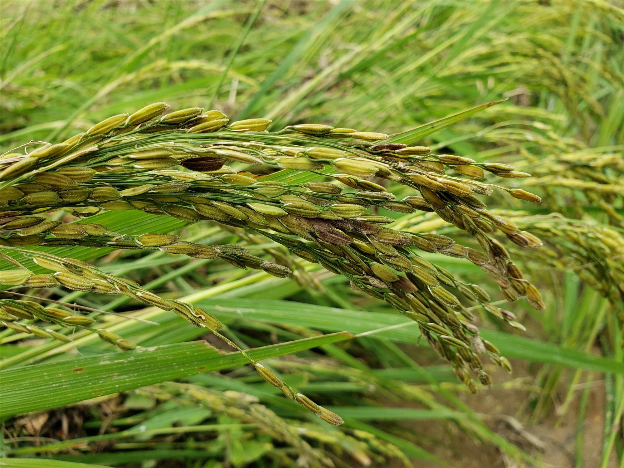 Lúa mới trổ bông nên người dân không thể thu hoạch trước khi lũ về. Ảnh: THANH THẮNG