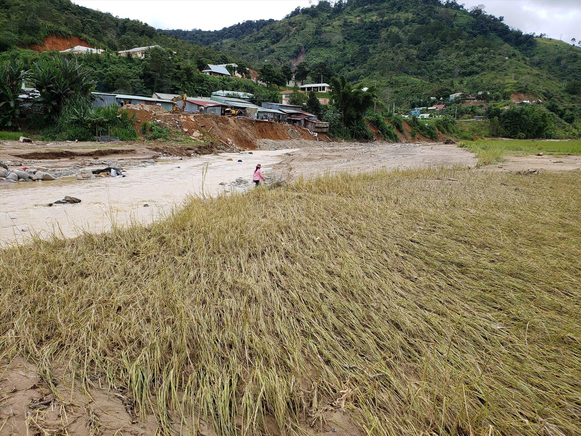 Hầu hết lúa bị ngập lụt không thể thu hoạch được. Ảnh: THANH THẮNG