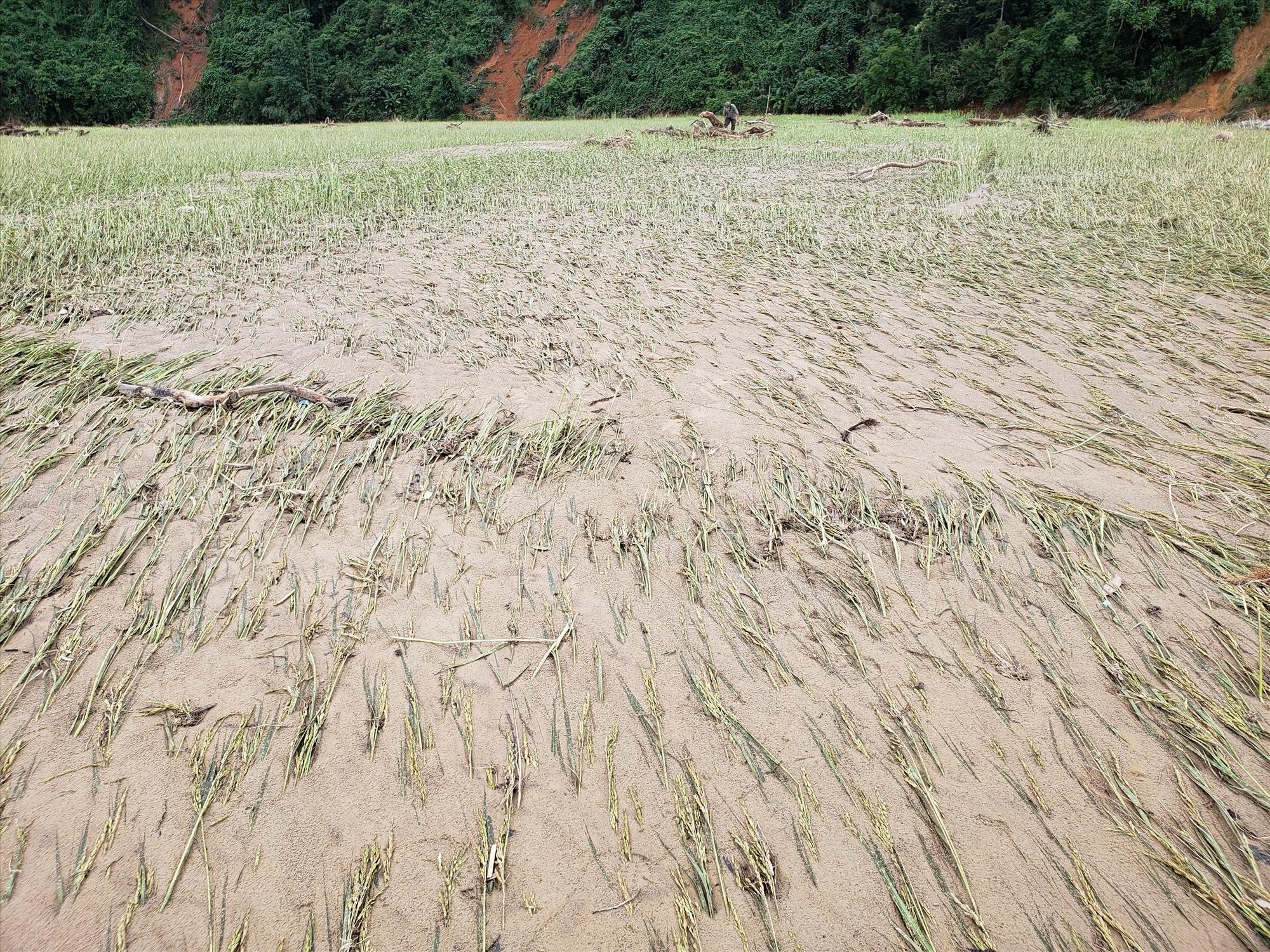 Đất, cát bồi lấp ruộng lúa, trong vụ đông xuân tới người dân chưa thể cải tạo lại cánh đồng. Ảnh: THANH THẮNG