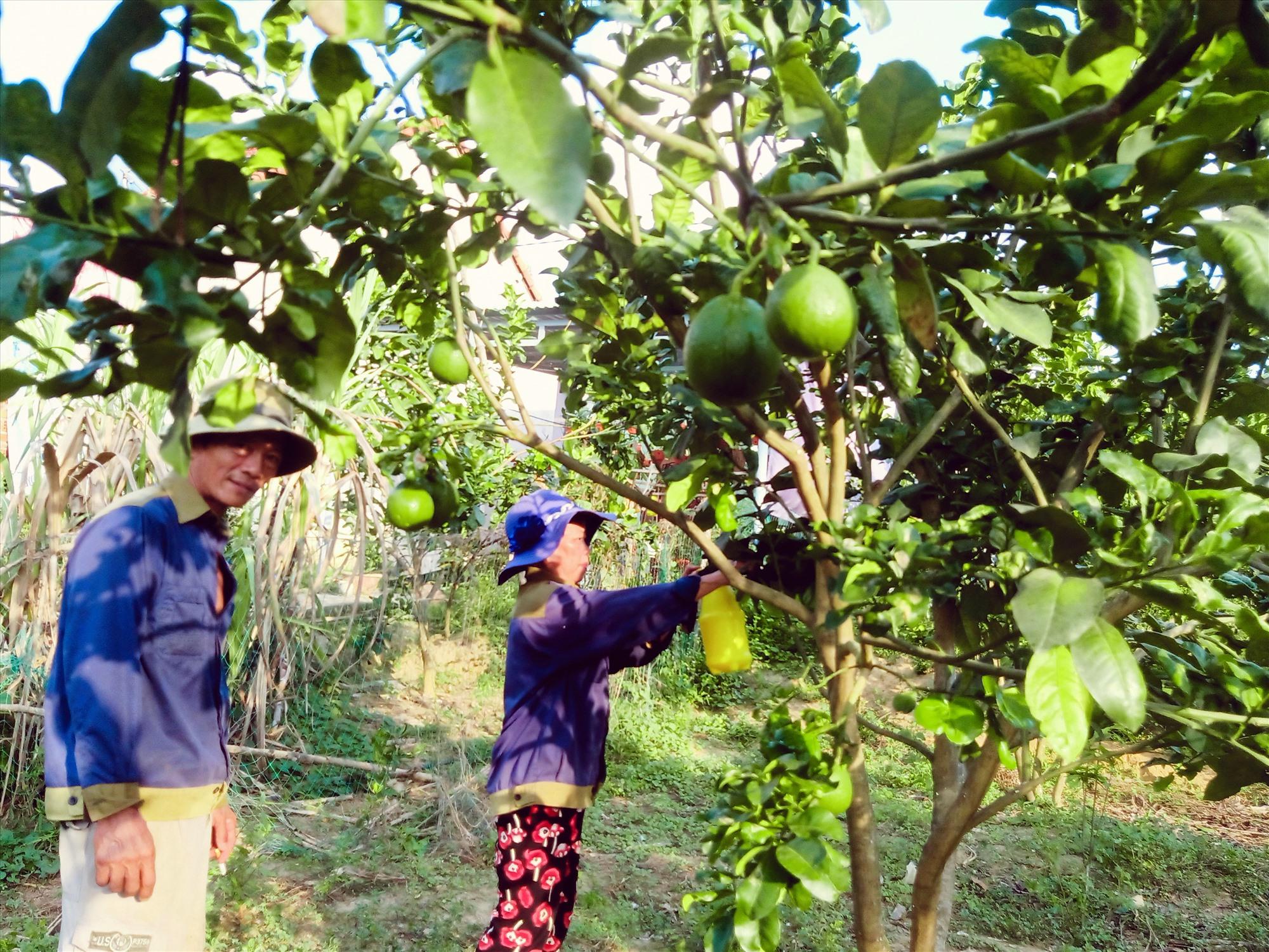Mô hình thâm canh bưởi da xanh tại xã Tam Xuân 1, Núi Thành. Ảnh: TRIÊU NHAN