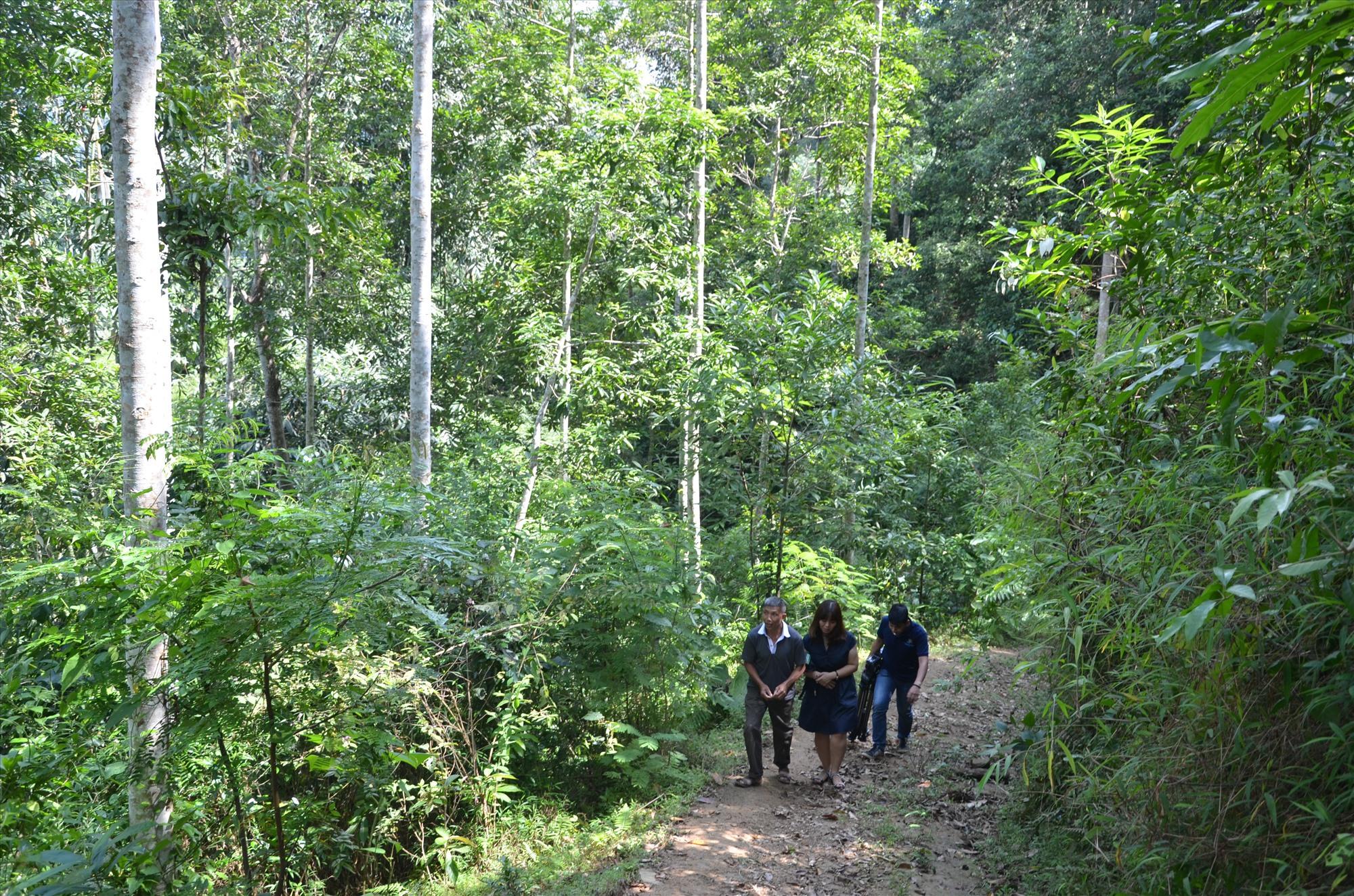 Nếu Trung ương quyết định quy định nguồn thu từ hấp thụ và lưu giữ các bon của rừng, Quảng Nam sẽ có thêm nguồn thu mở rộng dịch vụ môi trường rừng. Ảnh: H.P