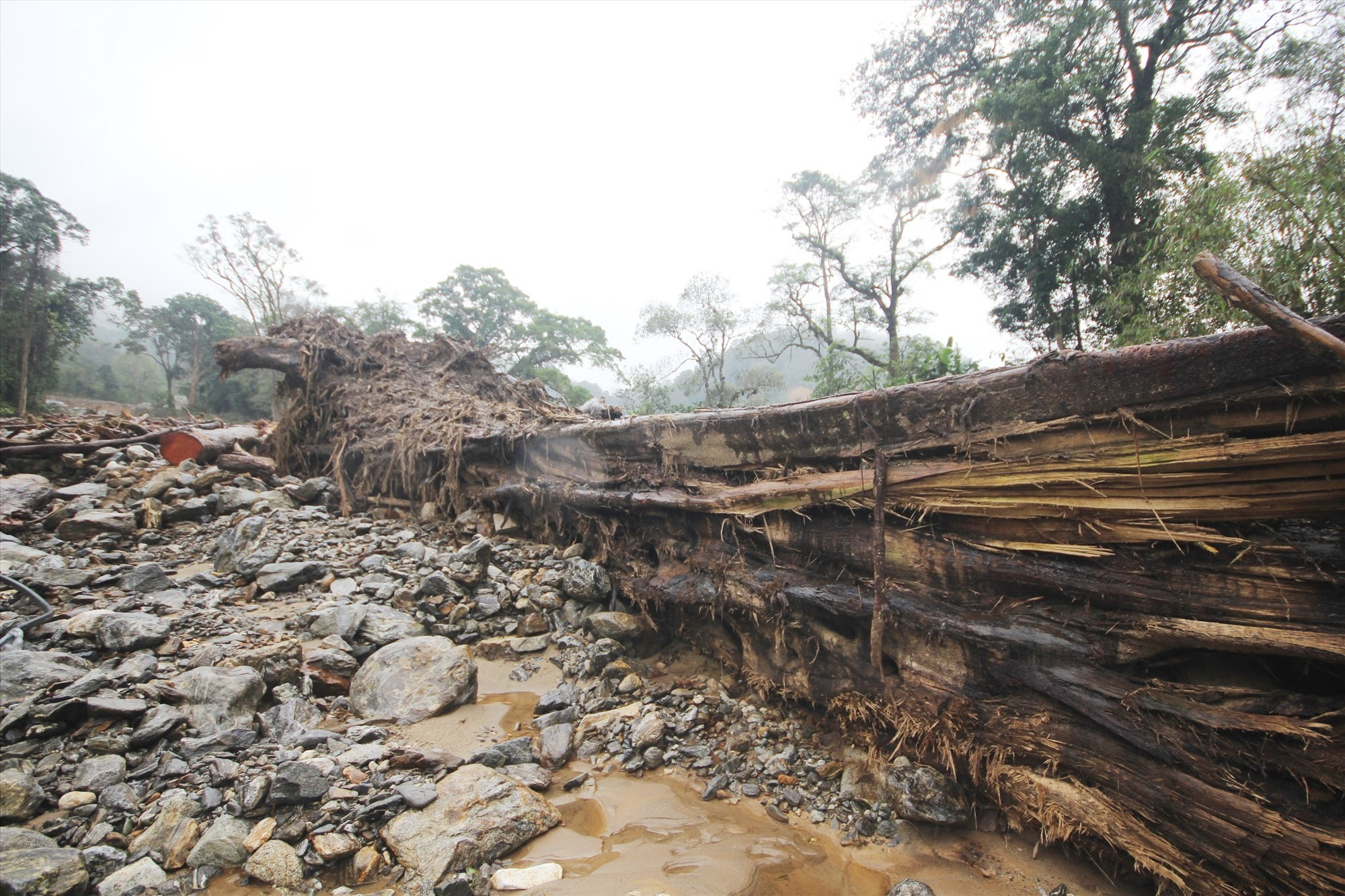 Một thân cây cổ thụ lớn bị lũ cuốn trôi xuống thôn 3. Ảnh: T.C