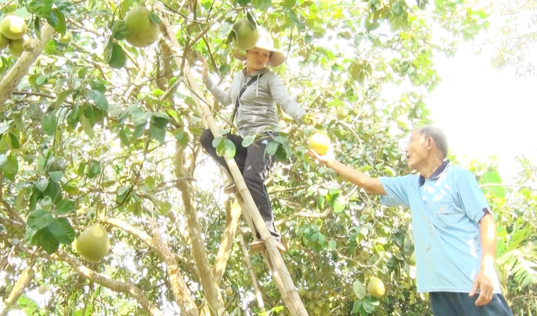 Nhiều mô hình kinh tế vườn ở Nông Sơn mang lại cho người dân nguồn thu nhập khá cao. Ảnh: Đ.N