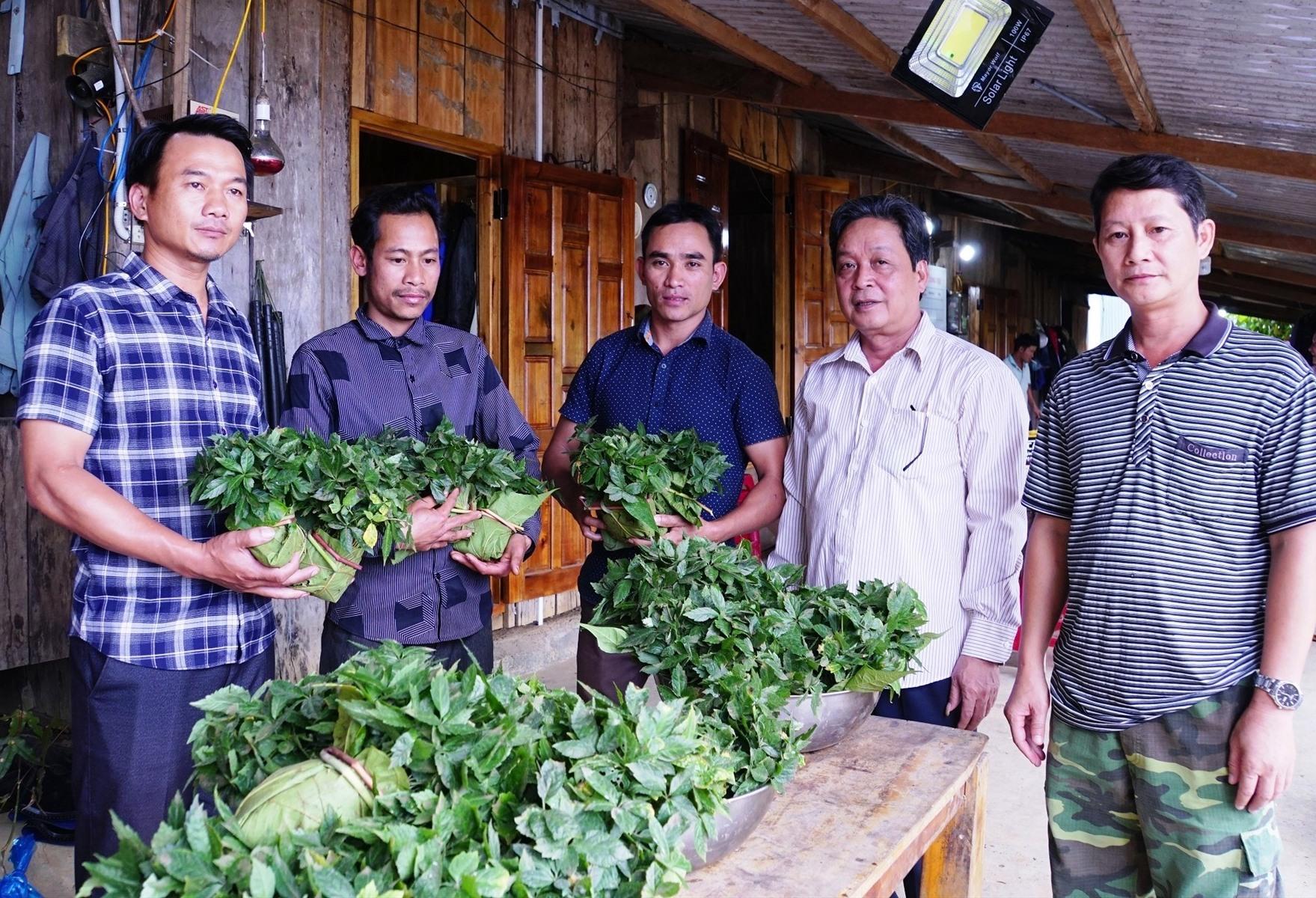 Cấp sâm Ngọc Linh giống cho người dân Nam Trà My.