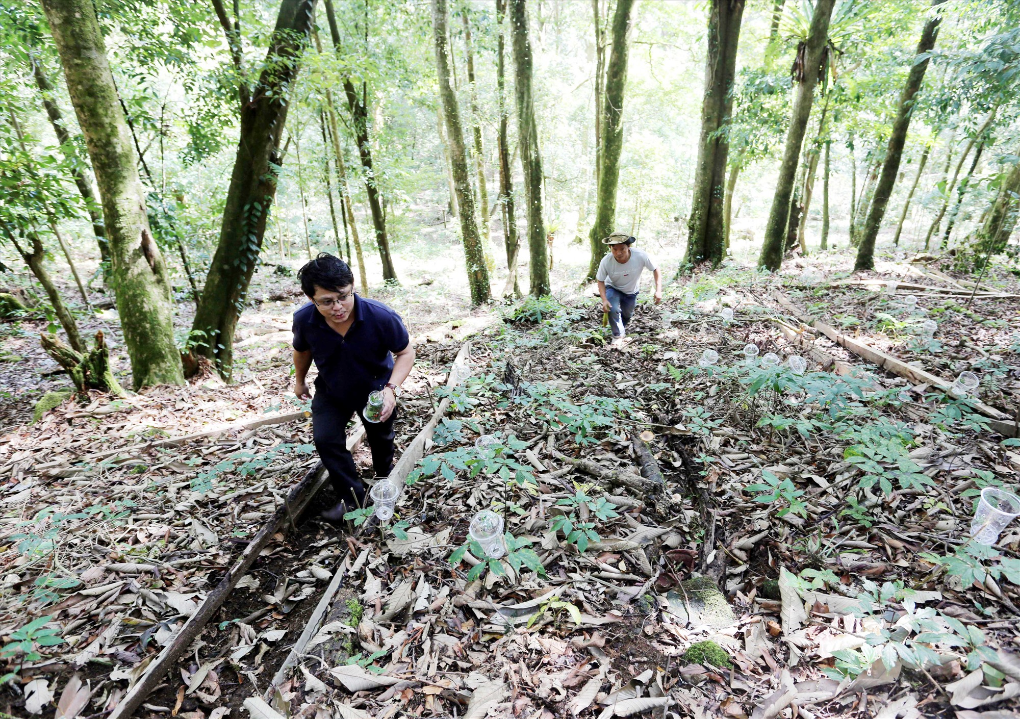 Những luống sâm được trồng dưới tán rừng, xung quanh dùng thân cây và ván thưng nhằm tránh bị trôi đất mùn khi trời mưa. Mỗi luống cao khoảng 20cm và có các rãnh giúp thoát nước, đi lại chăm sóc.