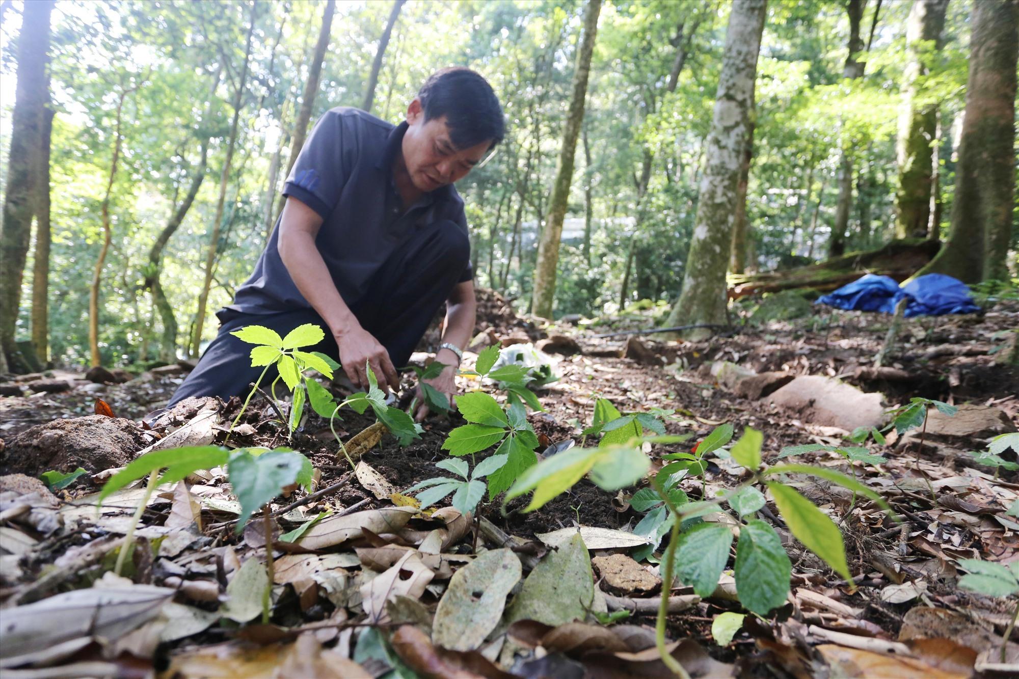 Ông Lê Thanh Ân (thôn 2, xã Trà Linh) trồng những cây sâm Ngọc Linh hai năm tuổi lên luống đất mùn nằm dưới tán rừng