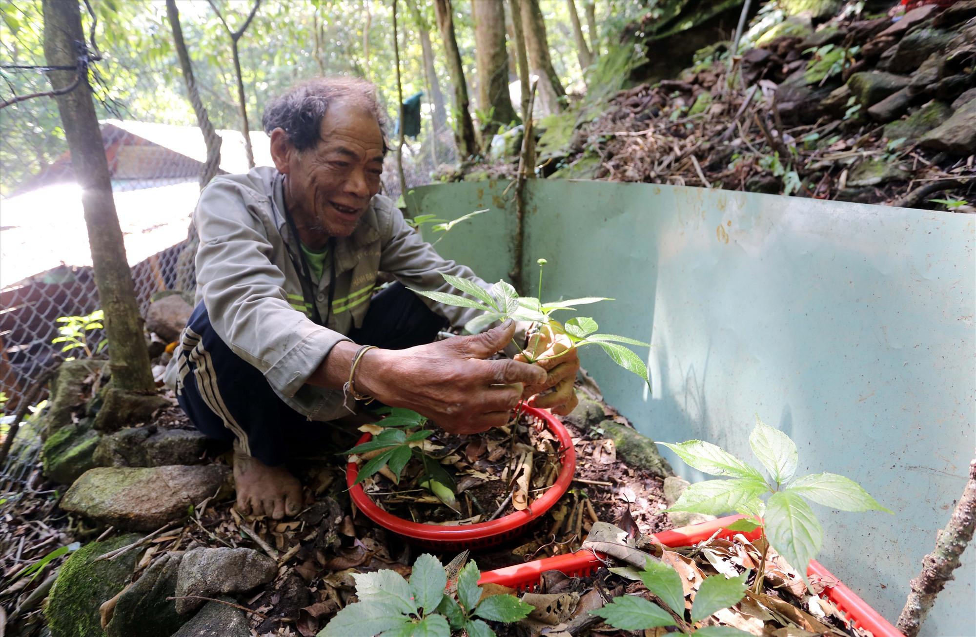 Ông Định Văn Thà (thôn 2, xã Trà Linh) với cây sâm hơn 5 tuổi trồng trong rổ nhựa đang cho hoa.