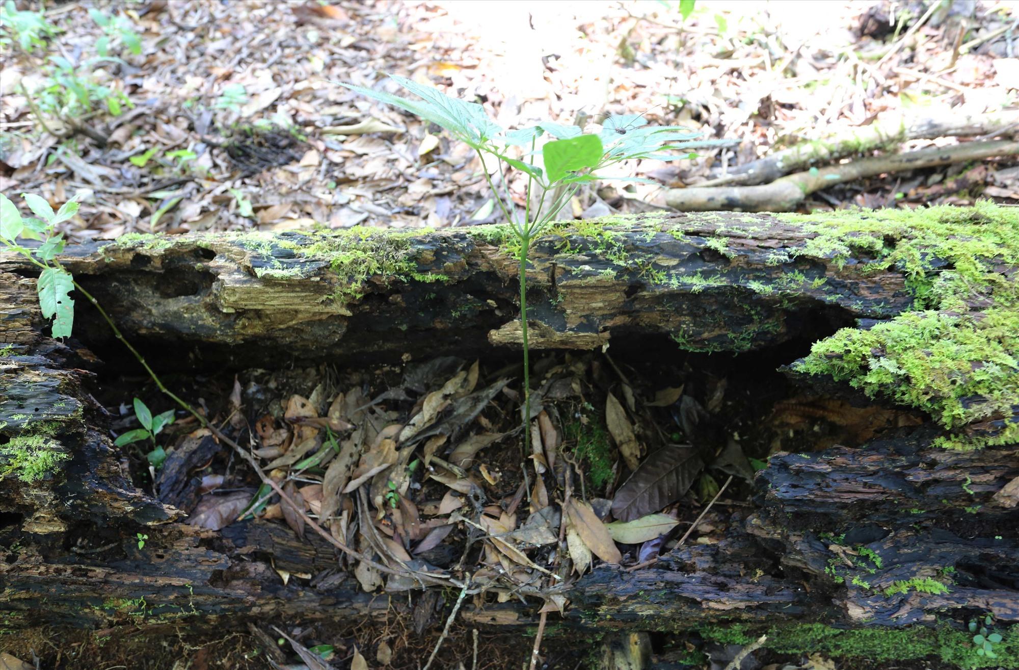 Một cây sâm trồng trên thân cây gỗ mục phát triển xanh tốt.