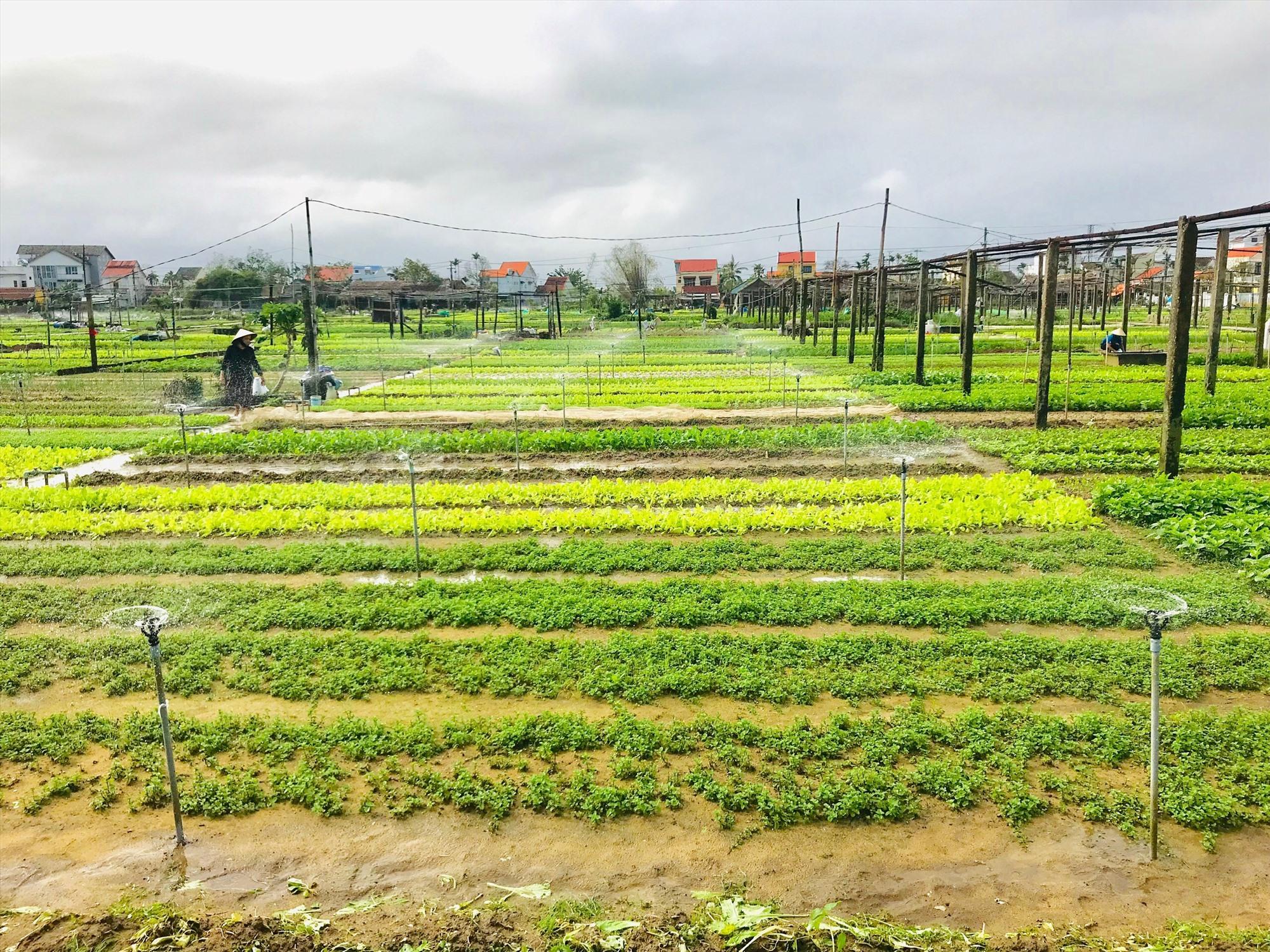 Sản phẩm ở làng rau Trà Quế có thể tạo ra nguồn thu từ nông nghiệp lẫn du lịch. Ảnh: Q.T