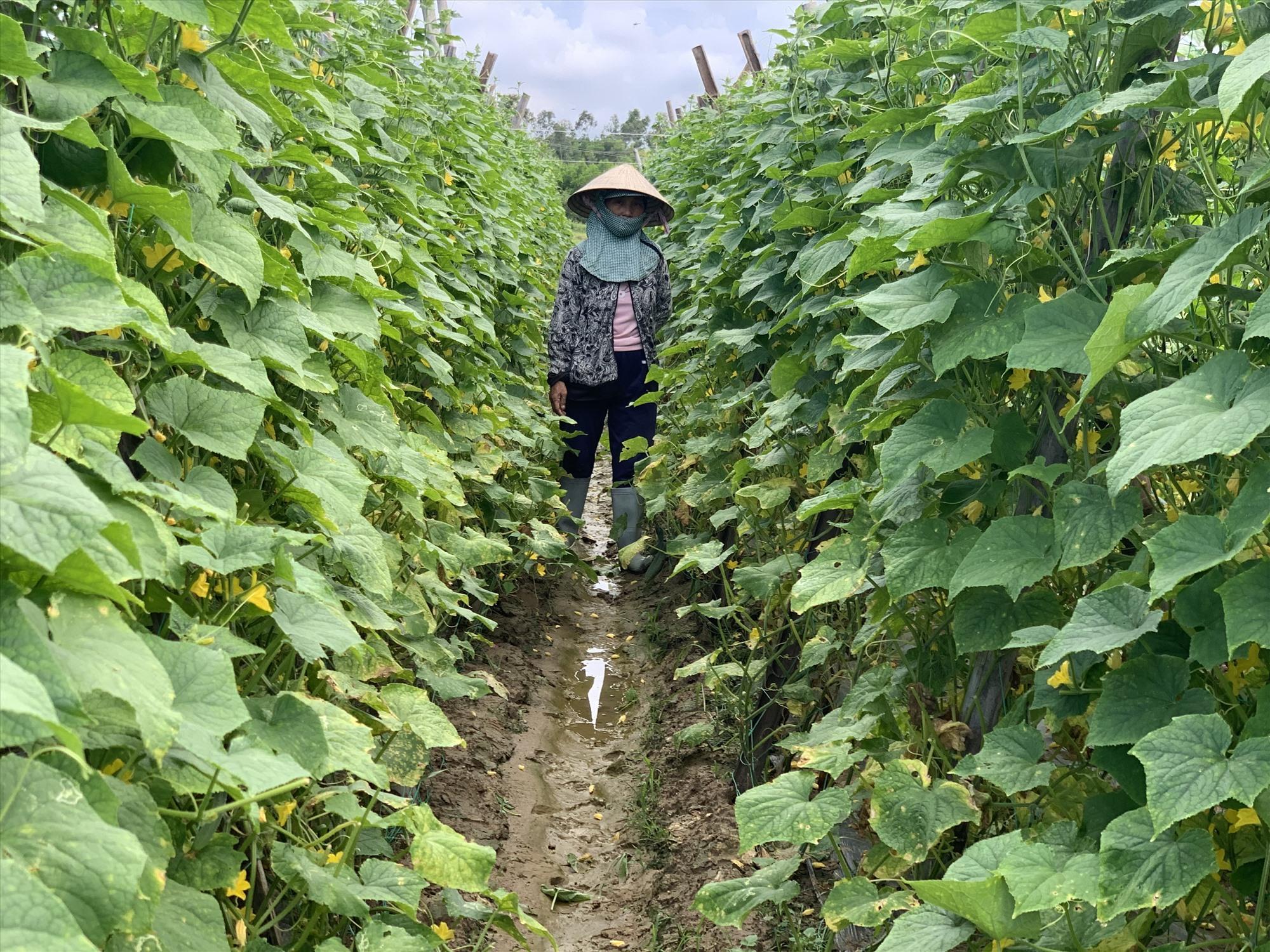 Mô hình trồng rau củ quả trên đất lúa giúp nhà nông tăng nguồn thu nhập. Ảnh: T.P