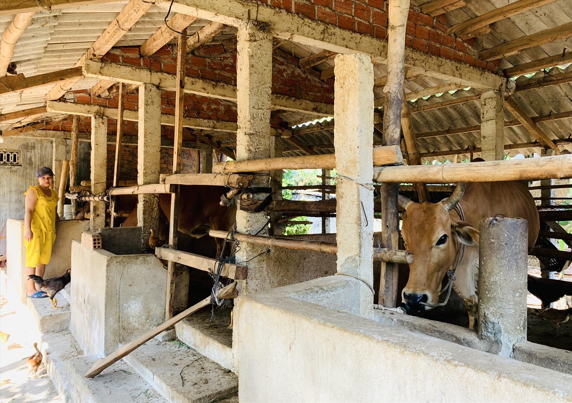 Nhiều hộ dân ở Duy Xuyên phát triển mô hình chăn nuôi bò thâm canh mang lại hiệu quả kinh tế cao. Ảnh: T.P