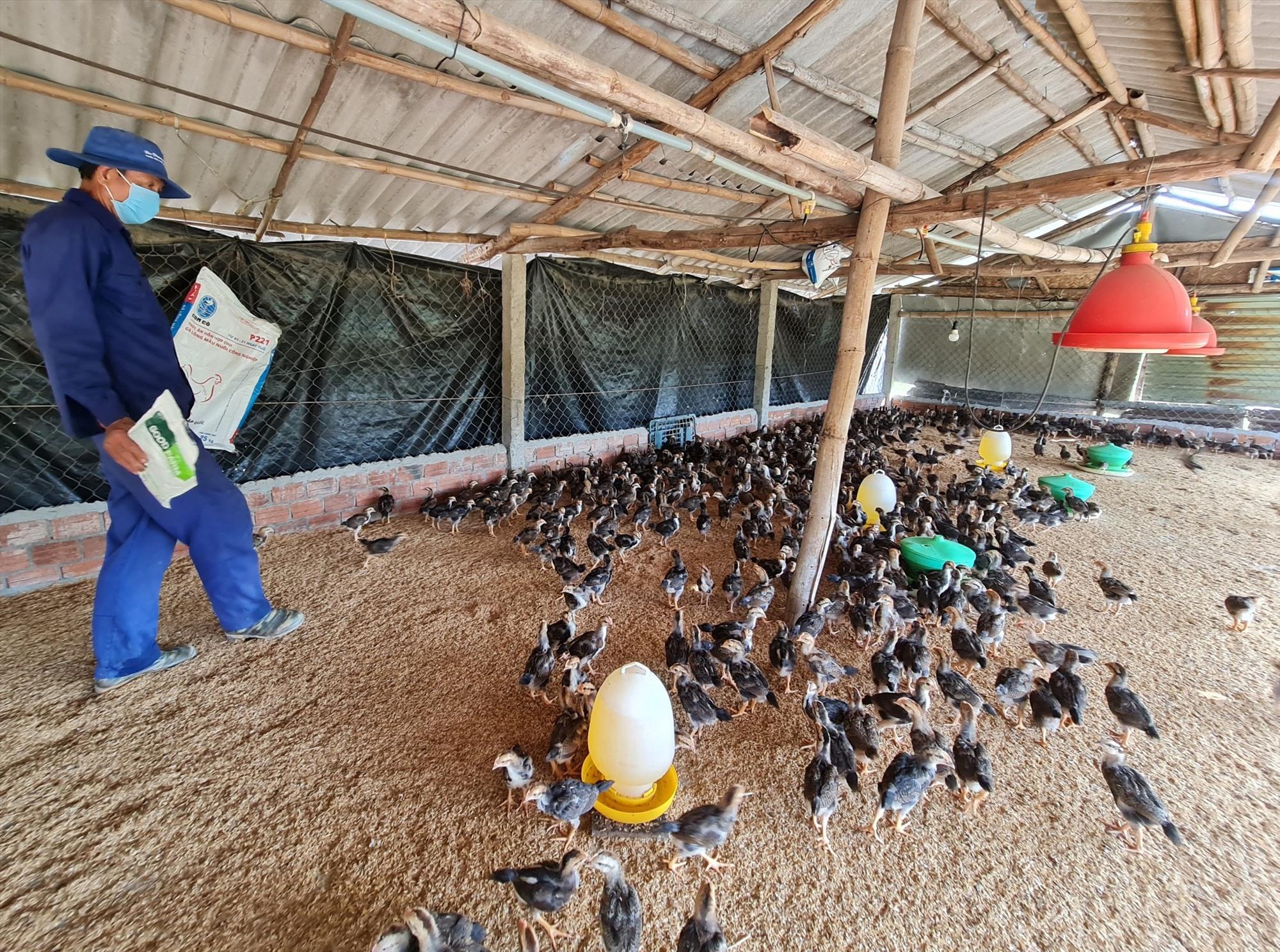 Ông Bùi Việt Tín (thôn Mỹ Cang, xã Tam Thăng, Tam Kỳ) đầu tư nuôi 15.000 con gà cung ứng thị trường cuối năm, dịp tết. Ảnh: VIỆT NGUYỄN