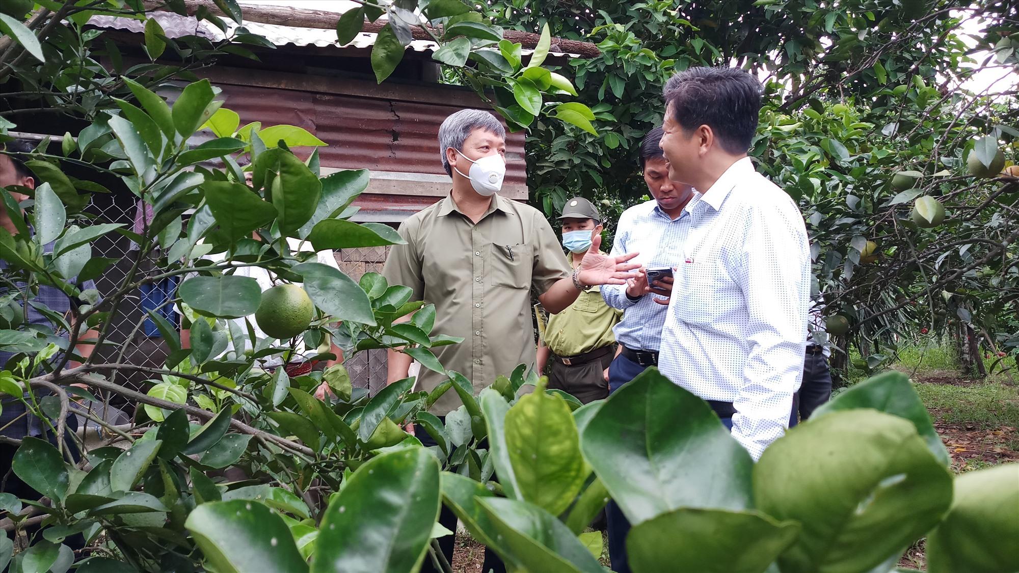 Phó Chủ tịch UBND tỉnh Hồ Quang Bửu kiểm tra mô hình trồng cây ăn quả tại xã Ba. Ảnh: A.N