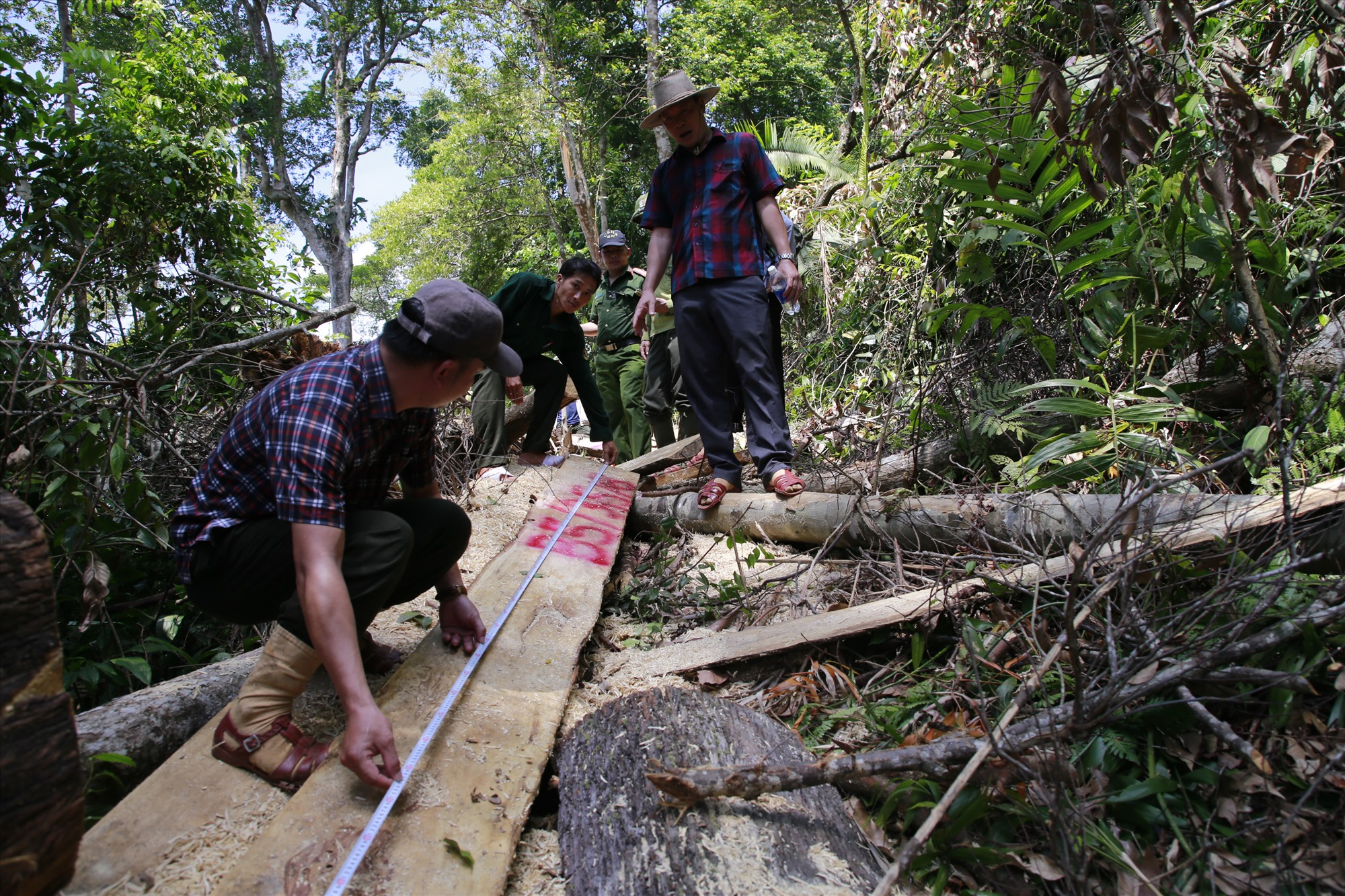 Một cây gỗ lớn đã bị xẻ, lấy đi phần lõi. Ảnh: T.C