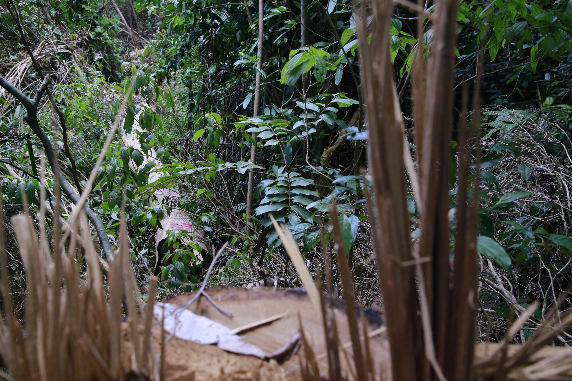 Một gốc gỗ lớn bị đốn ngã nhưng lâm tặc chưa kịp cưa xẻ lấy gỗ đi. Ảnh: T.C