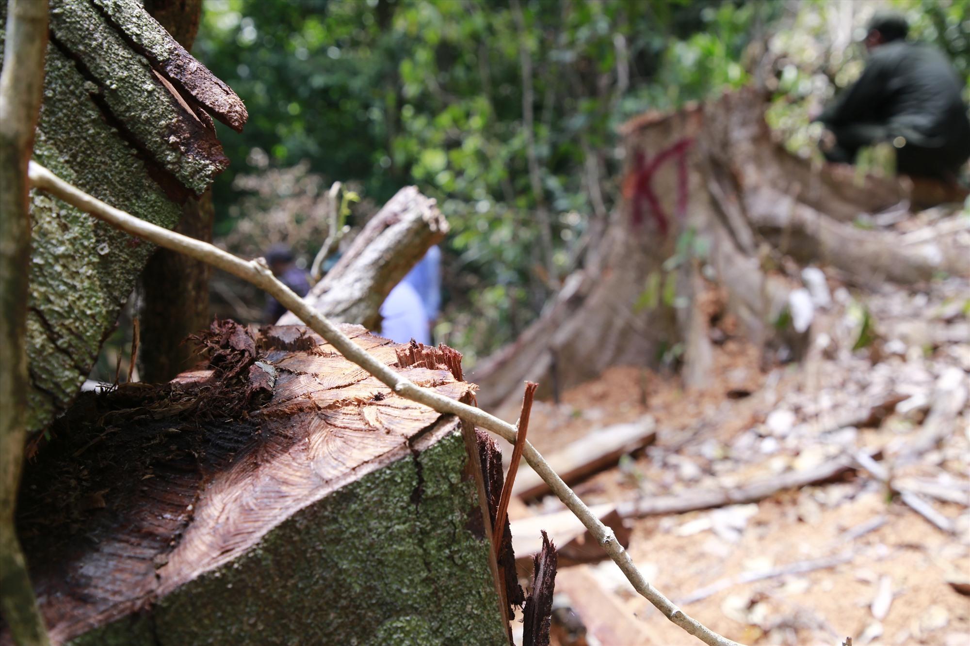 Ban đầu cơ quan chức năng nhận định khu vực này bị người địa phương chặt hạ để lấy vật liệu làm nhà. Ảnh: T.C