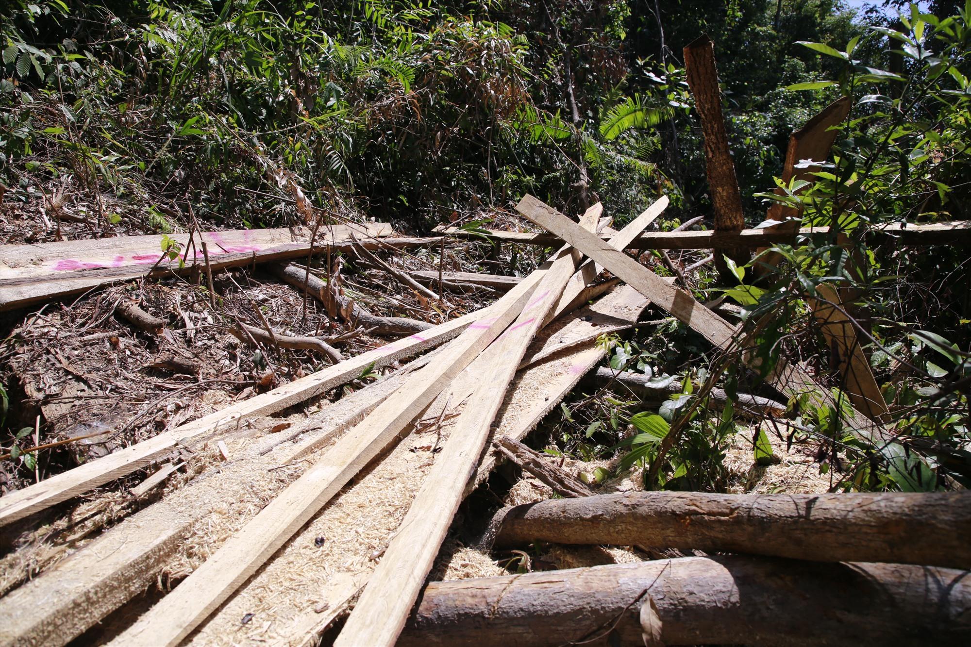 Một thân gỗ lớn đã bị các đối tượng xẻ, lấy đi phần lõi. Ảnh: T.C