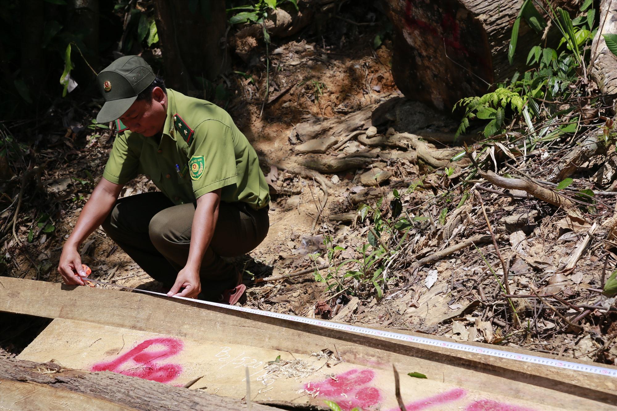Cơ quan chức năng kiểm đếm, đo đạc số cây gỗ bị chặt hạ. Ảnh: T.C