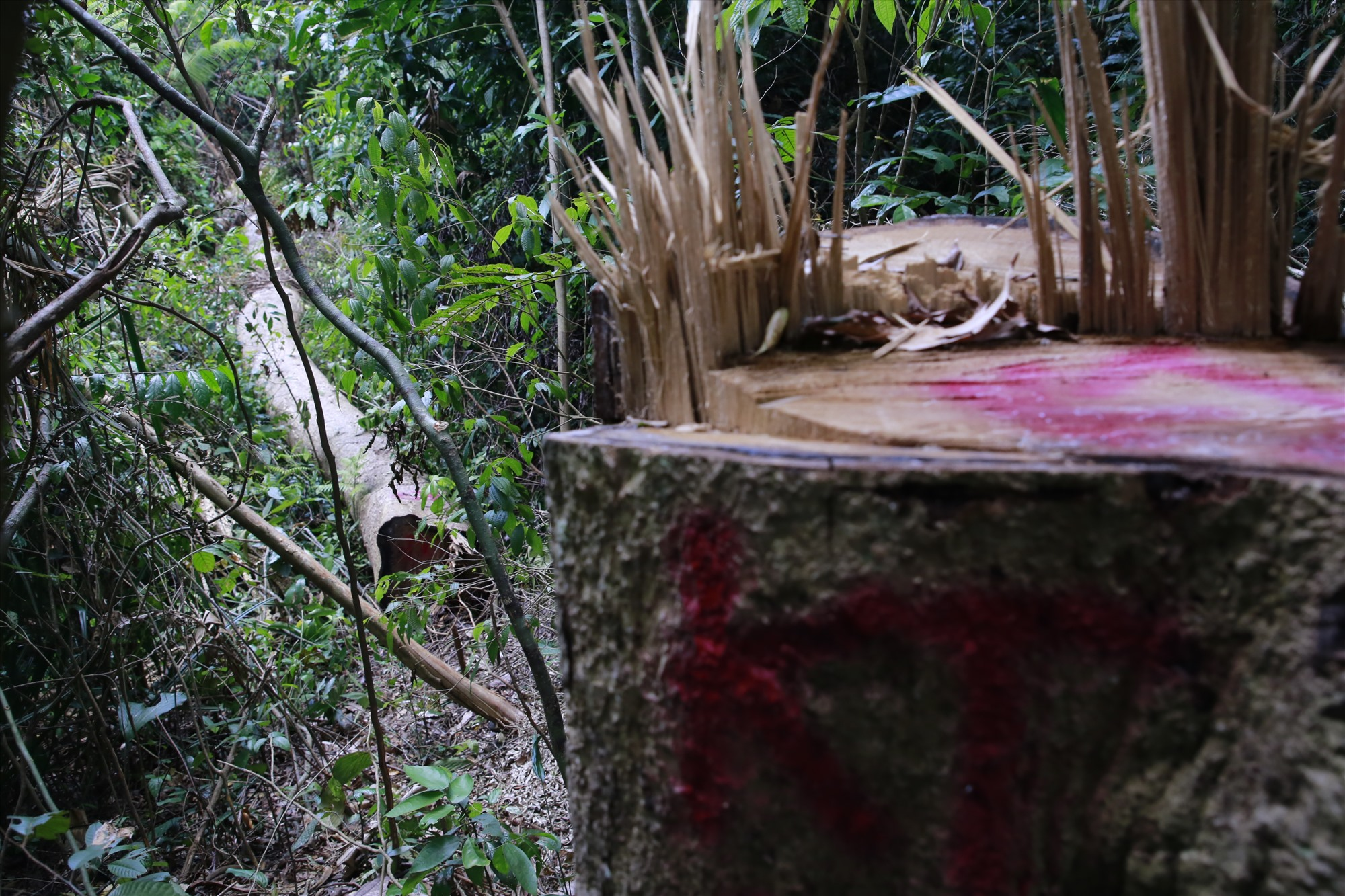 Việc người dân khai thác gỗ để làm nhà khiến tình trạng phá rừng diễn ra dai dẳng. Ảnh: T.C