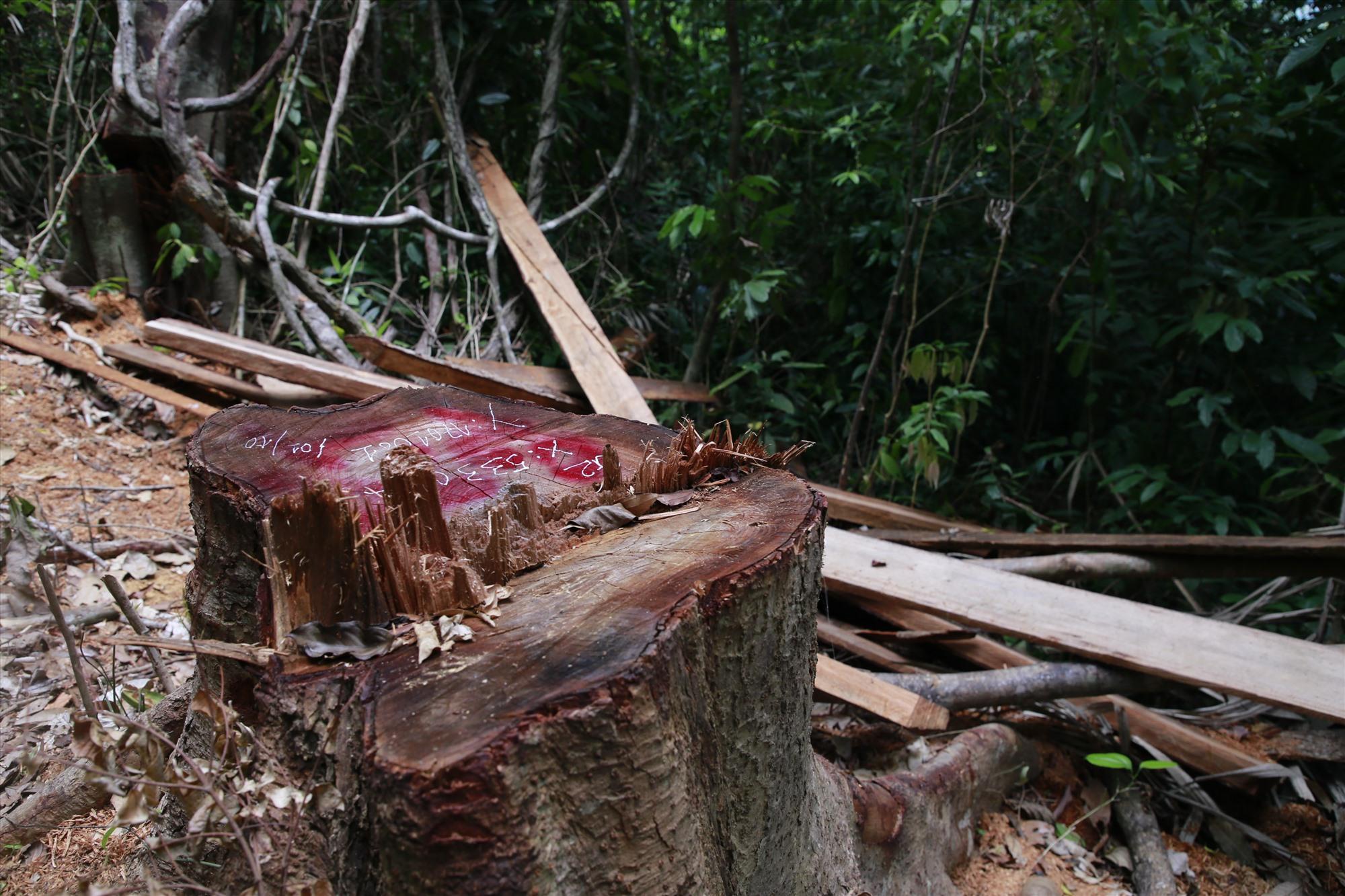 Có tổng cộng 15 cây gỗ bị chặt hạ tại hai tiểu khu 738 và 742, xã Trà Bui (Bắc Trà My). Ảnh: T.C