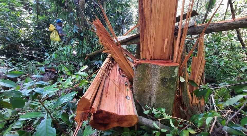 Vụ phá rừng phòng hộ tại tiểu khu 738 thuộc địa phận thôn 5 xã Trà Bui (Bắc Trà My) khiến dư luận bức xúc. Ảnh: L.V