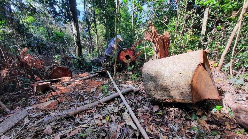 Ban Thường vụ Tỉnh ủy chỉ đạo làm rõ, xử lý thật nghiêm vụ phá rừng phòng hộ tại xã Trà Bui (Bắc Trà My). Ảnh: N.Đ
