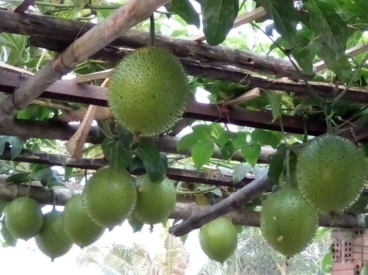 Gấc là một trong những loại cây dược liệu được Quảng Nam ưu tiên phát triển. Ảnh: C.N