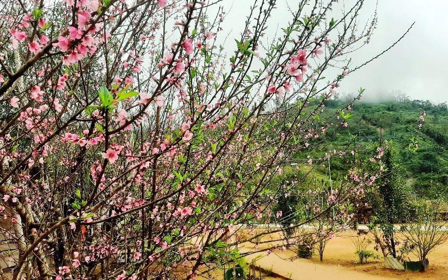 Từng chùm hoa khoe sắc giữa màn sương núi trong dịp cuối năm, càng khiến vùng biên rạo rực sắc xuân thì. Ảnh: Đ.N
