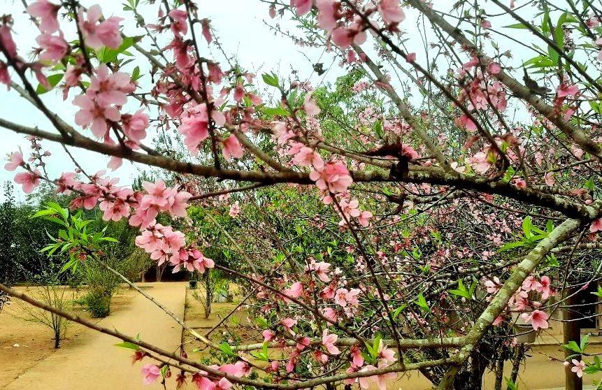 Những cành hoa trải dọc theo con đường làng, gợi lên một màu hồng tươi thắm. Ảnh: Đ.N