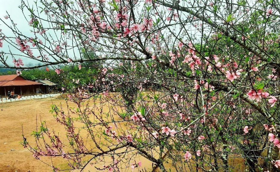 Những cây đào ở Arầng cho hoa màu hồng tươi, đẹp rực rỡ trước thềm năm mới. Ảnh: Đ.N