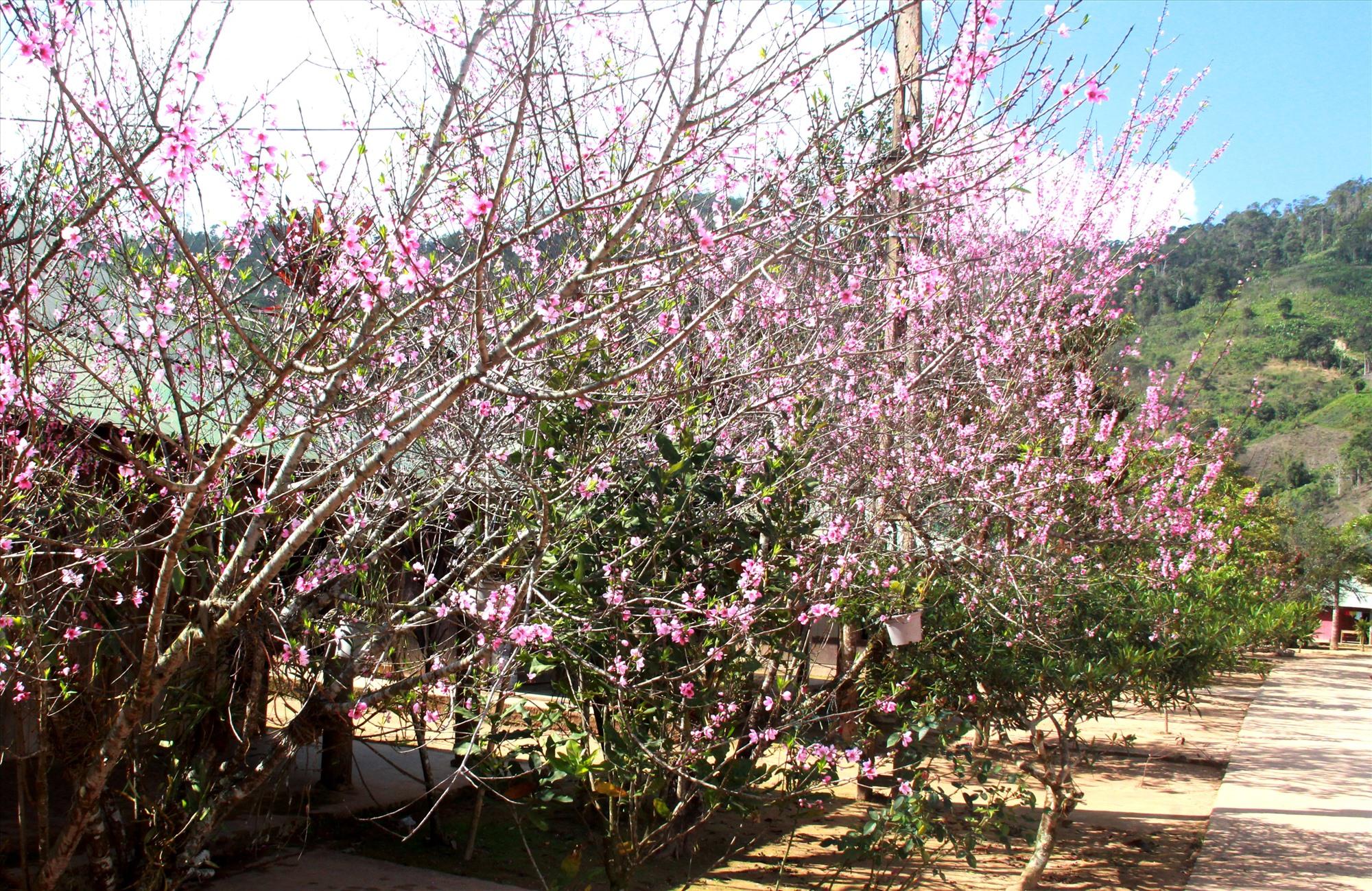 """Sau nhiều năm trồng """"thử nghiệm"""" thành công, bà con Cơ Tu bắt đầu mở rông vườn hoa dọc theo tuyến đường bê tông nông thôn về làng. Ảnh: Đ.N"""