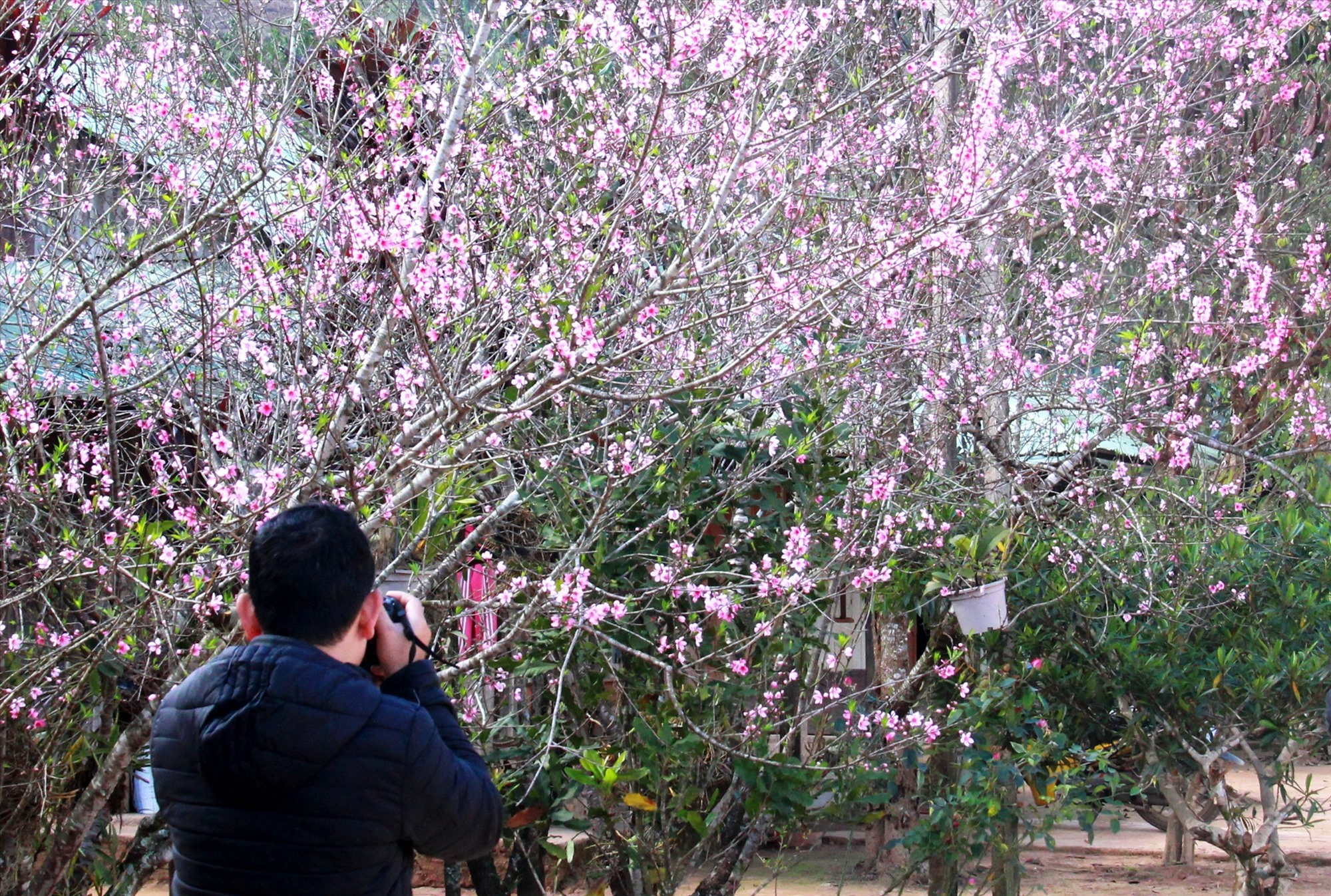 Du khách ghi lại khoảnh khắc hoa đào bung nở ở Arầng. Từ