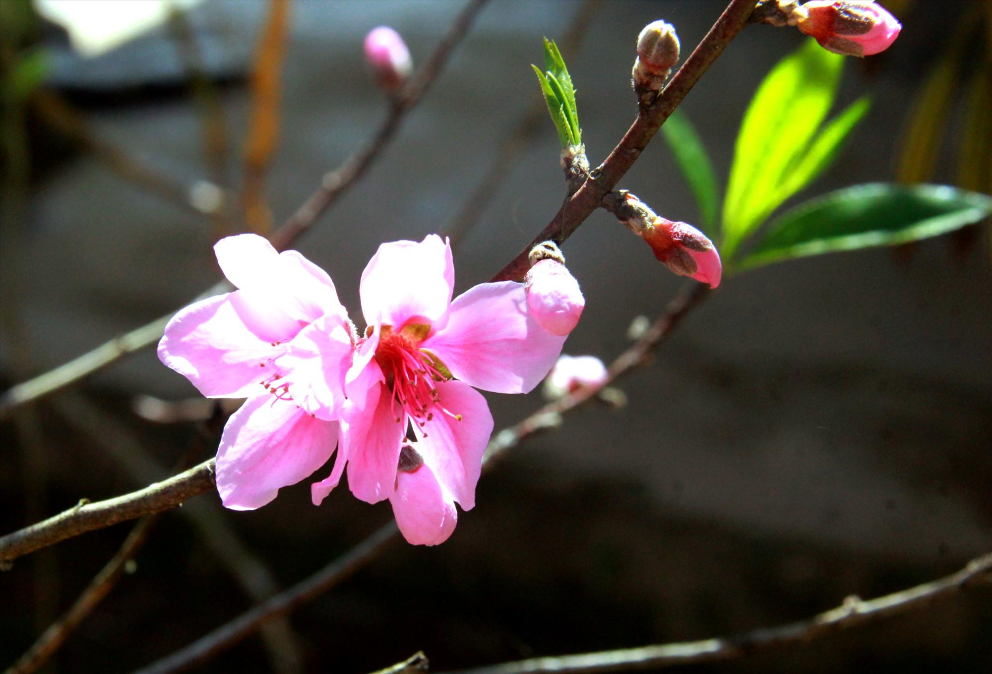 Cận cảnh một bông hoa đào 5 cánh ở Arầng. Ảnh: Đ.N