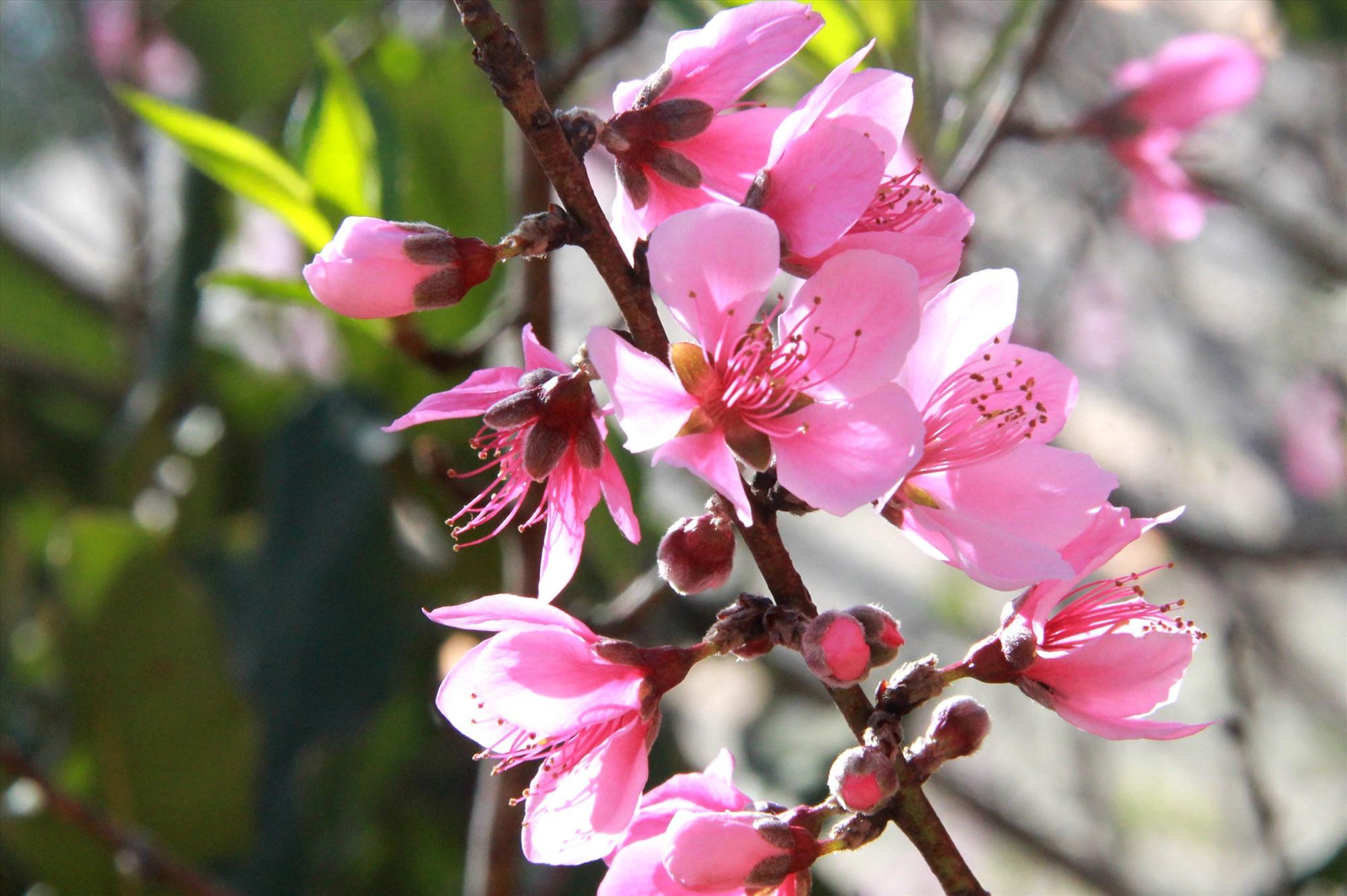 Năm nay, sau thời gian rét đệm kéo dài, trước tết ở vùng cao Tây Giang xuất hiện không khí nắng khiến hoa đào bung nở nhiều hơn mọi năm. Ảnh: Đ.N